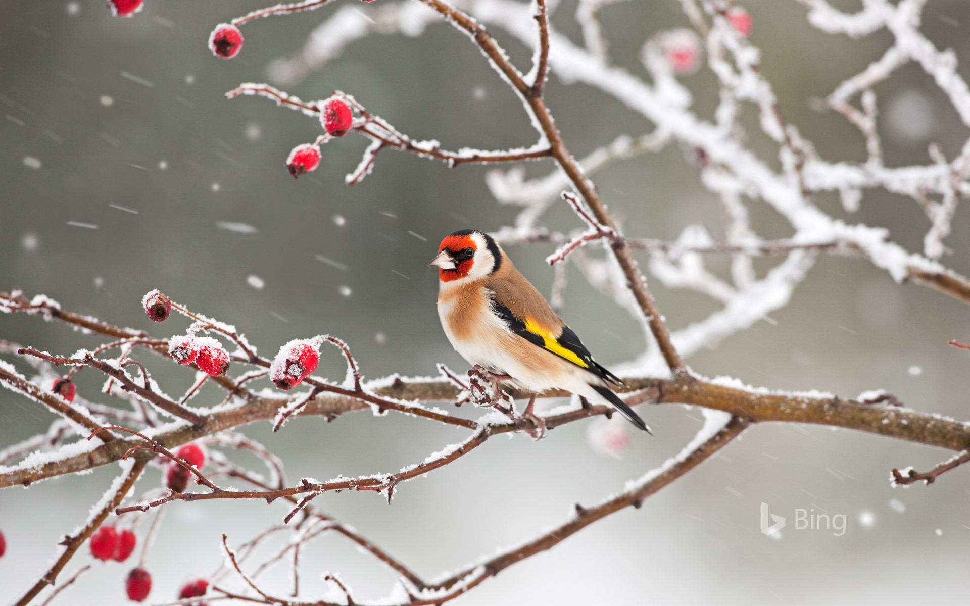 A European goldfinch perched among rosehips in snow
