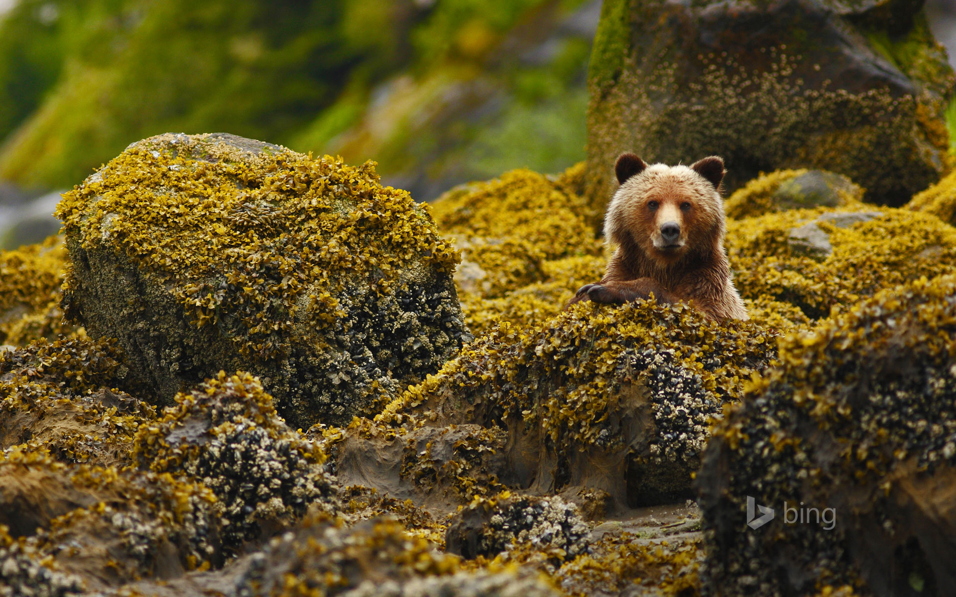 A grizzly in the Great Bear Rainforest, British Columbia, Canada