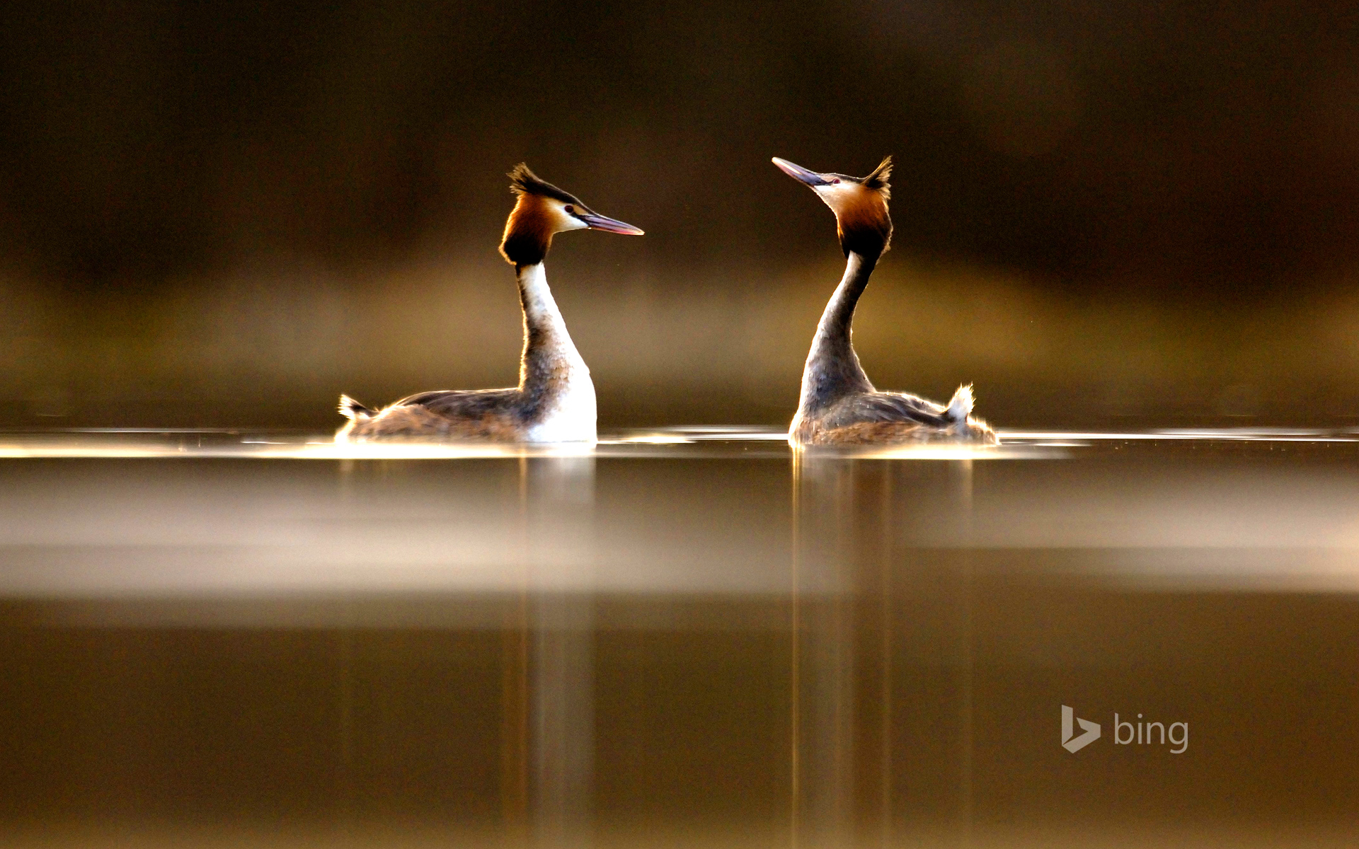 Pair of Great Crested Grebes (Podiceps cristatus) during their elaborate courtship dance
