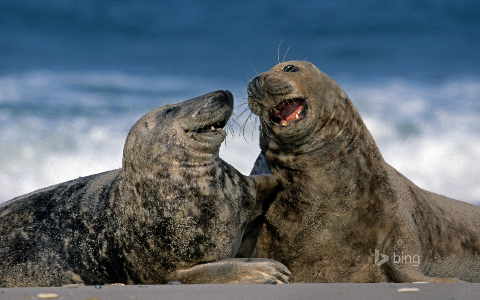 Grey seals at Heligoland, Germany