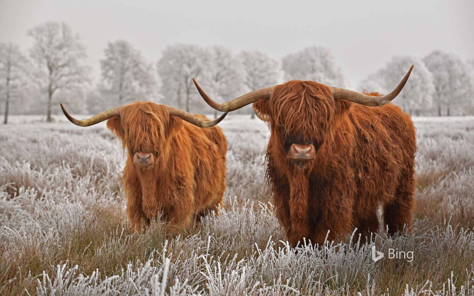 Highland cattle in Drenthe province, Netherlands