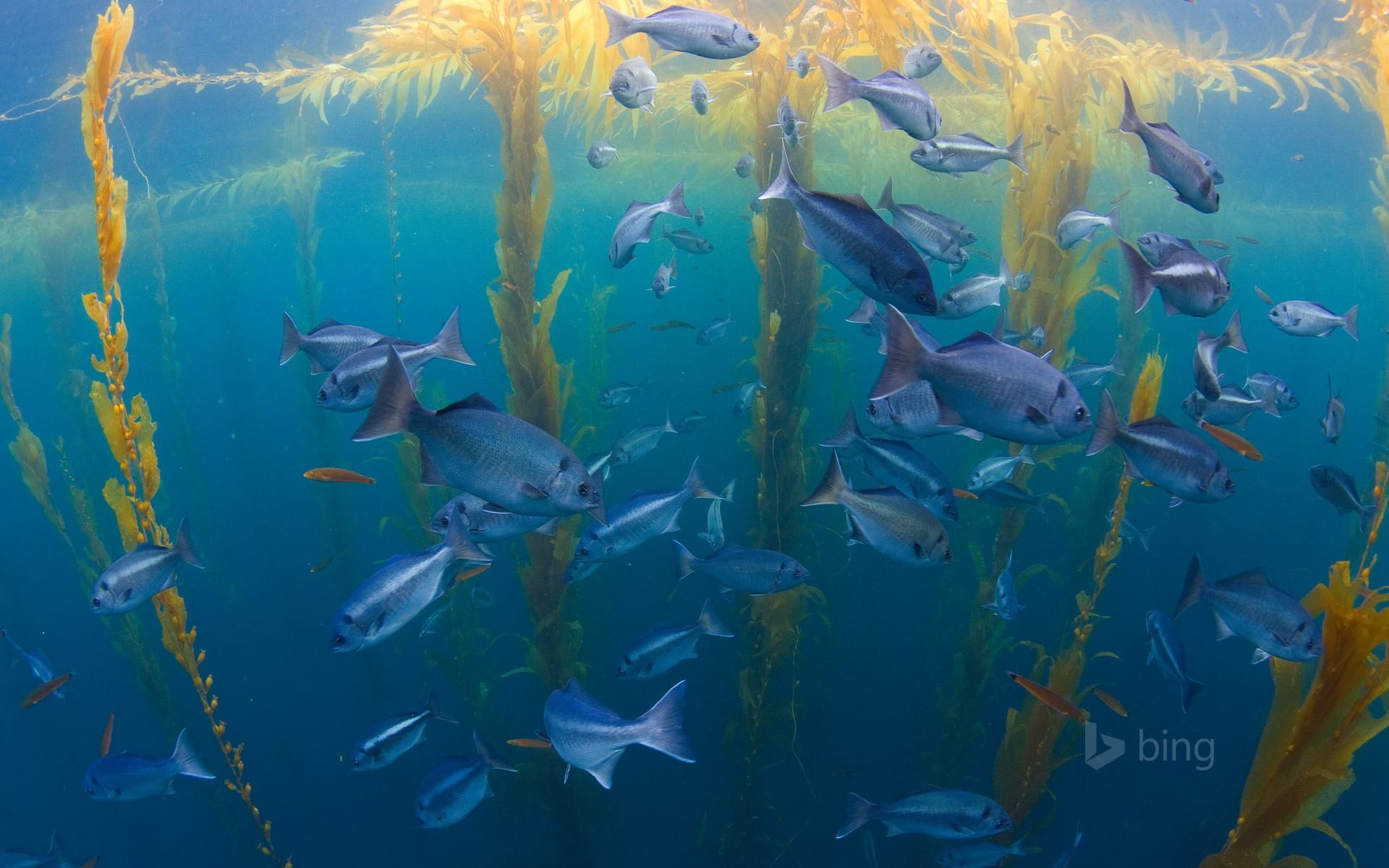 Halfmoon fish in a kelp forest offshore from San Diego, California