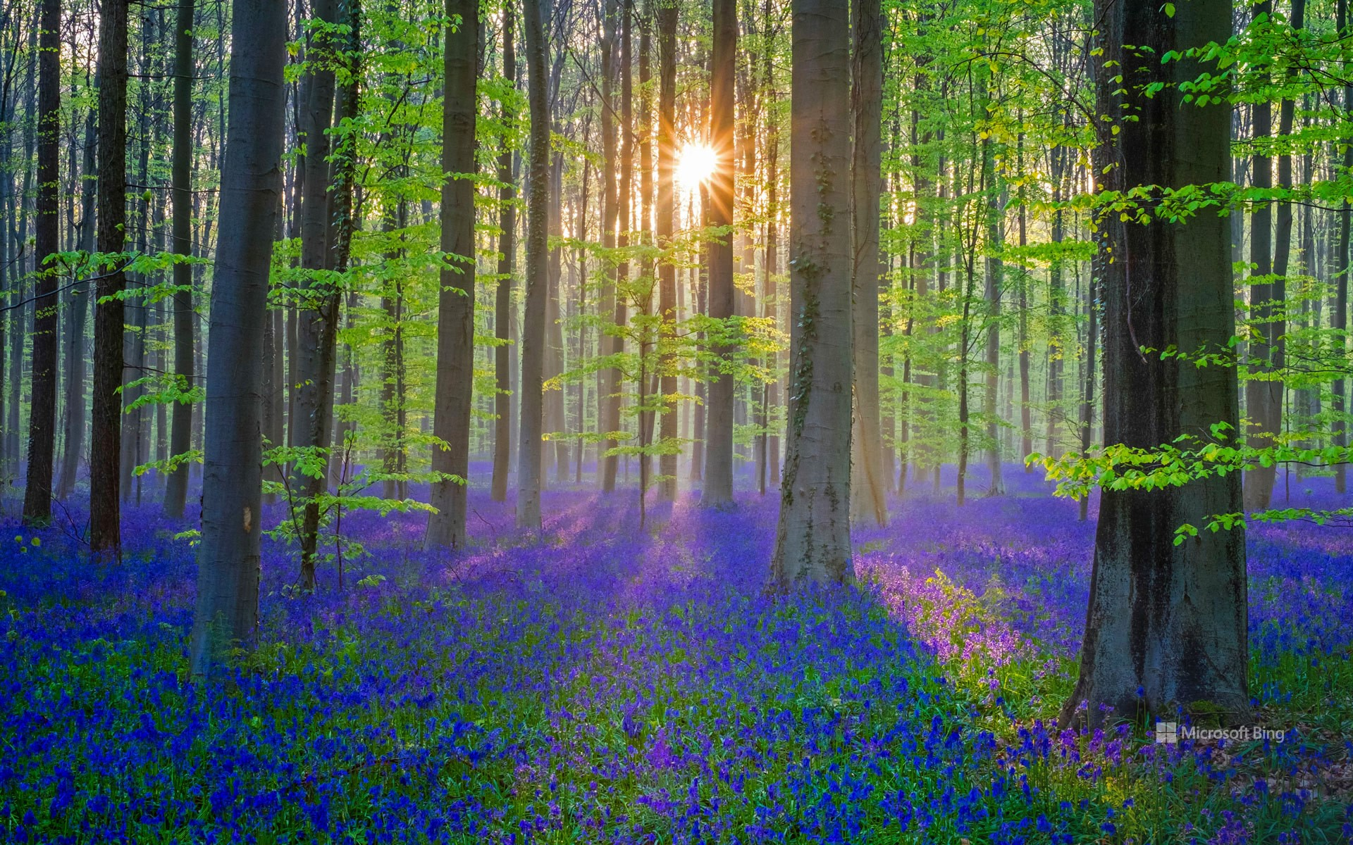 Bluebell flowers carpet the Hallerbos forest floor, Flanders, Belgium
