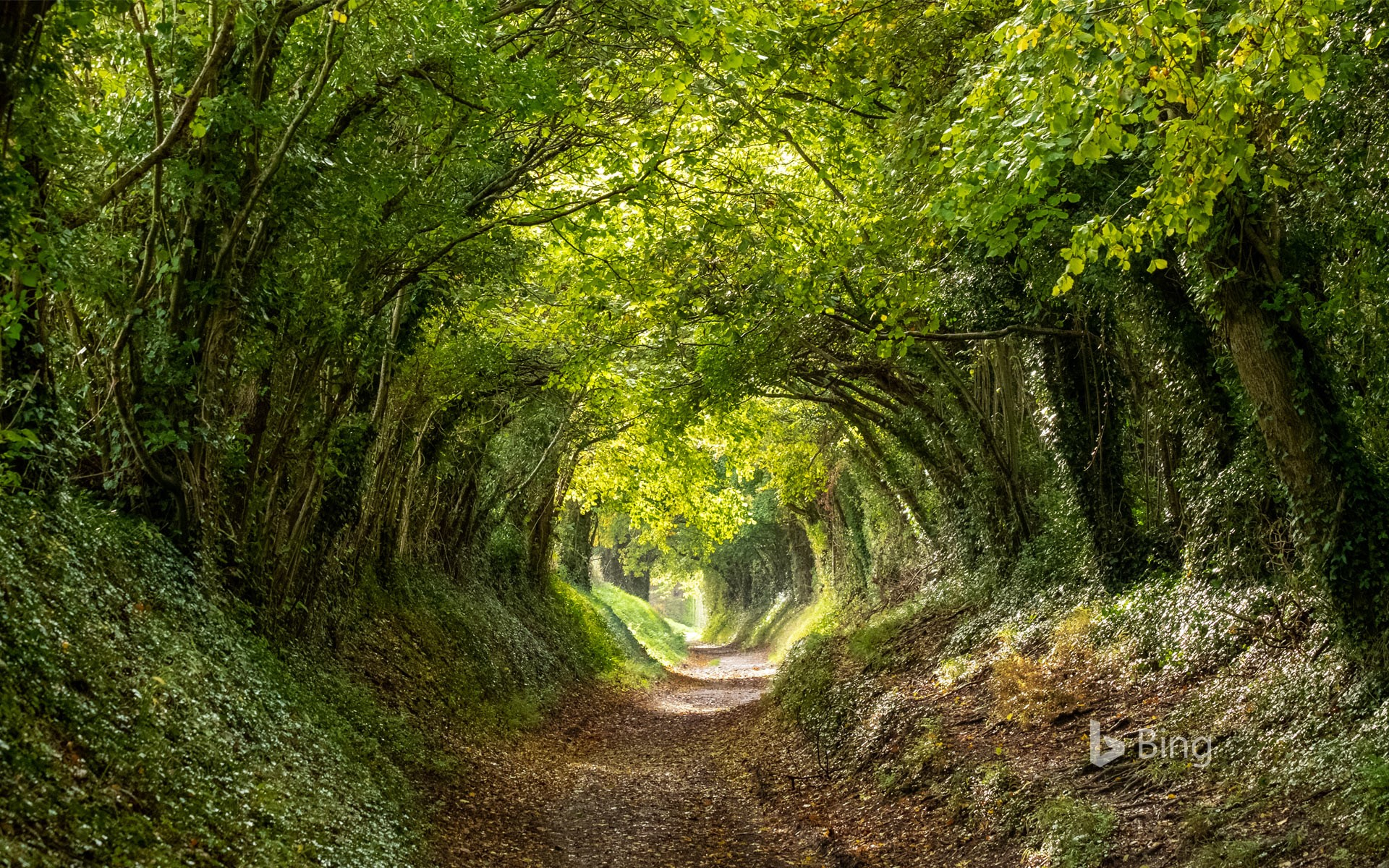 Halnaker tree tunnel near Chichester, West Sussex