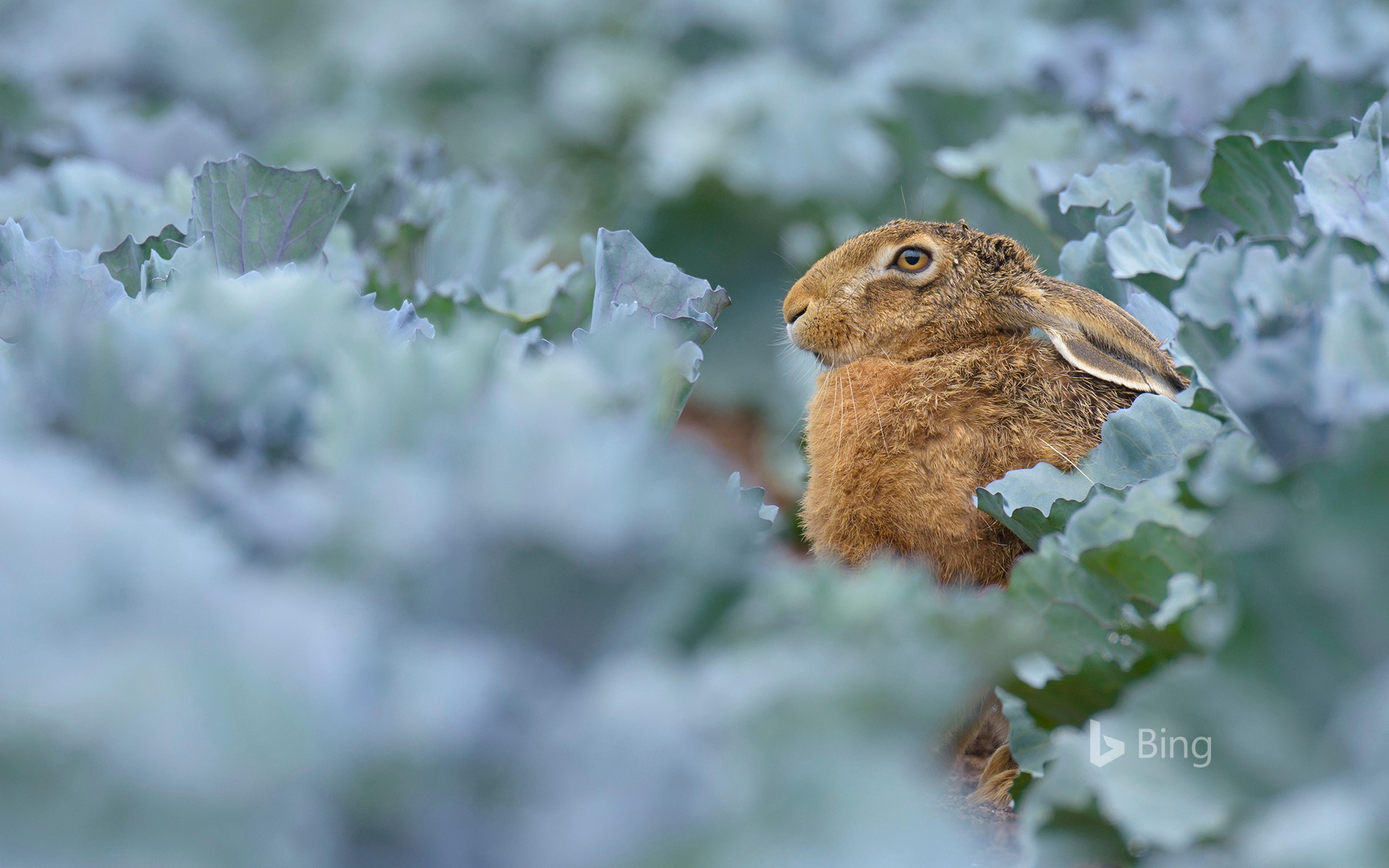 European brown hare (Lepus europaeus) in red cabbage field, Hessen, Germany