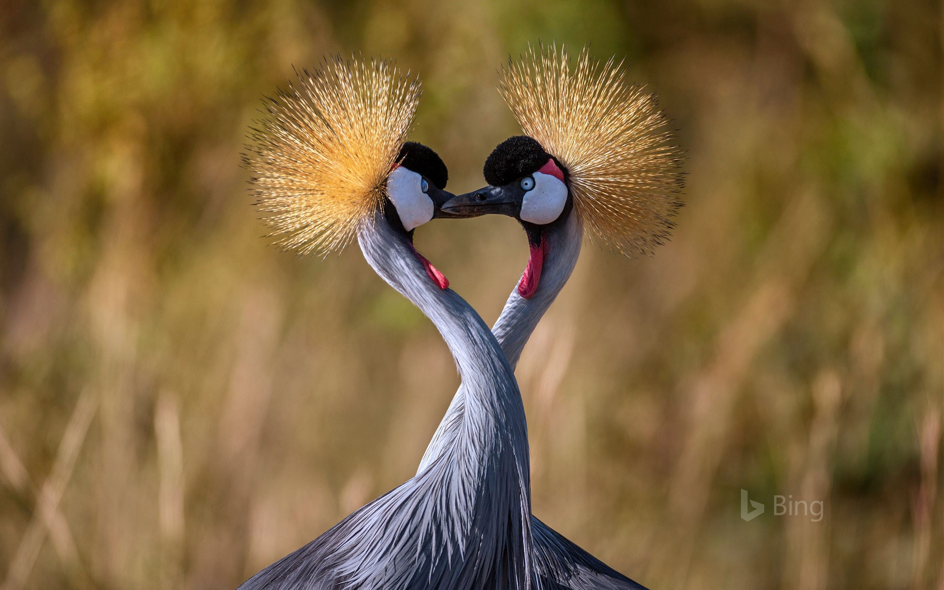 Grey crowned cranes forming a heart shape