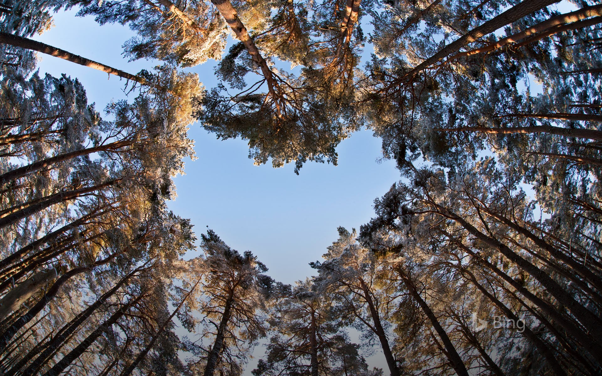 A heart-shaped opening in a canopy of Scots pines to celebrate National Tree Week (© Mark Hamblin/2020VISION/Minden Pictures)