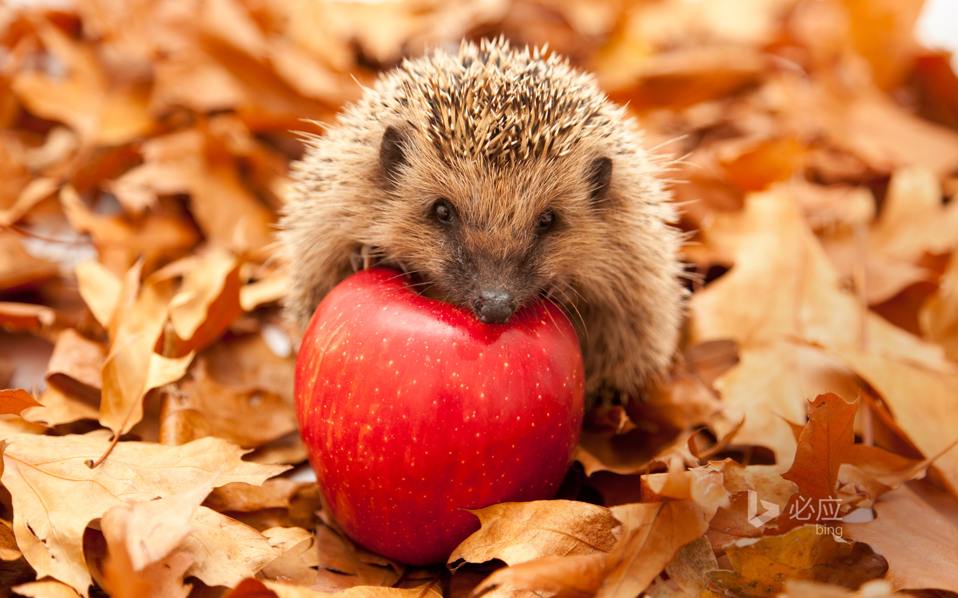 Hedgehog with red apple