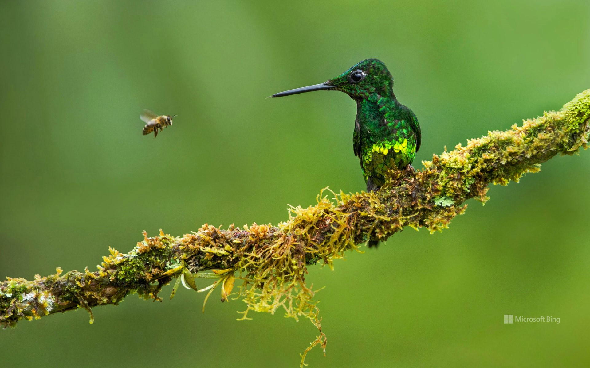 Empress brilliant hummingbird and a bee in Colombia