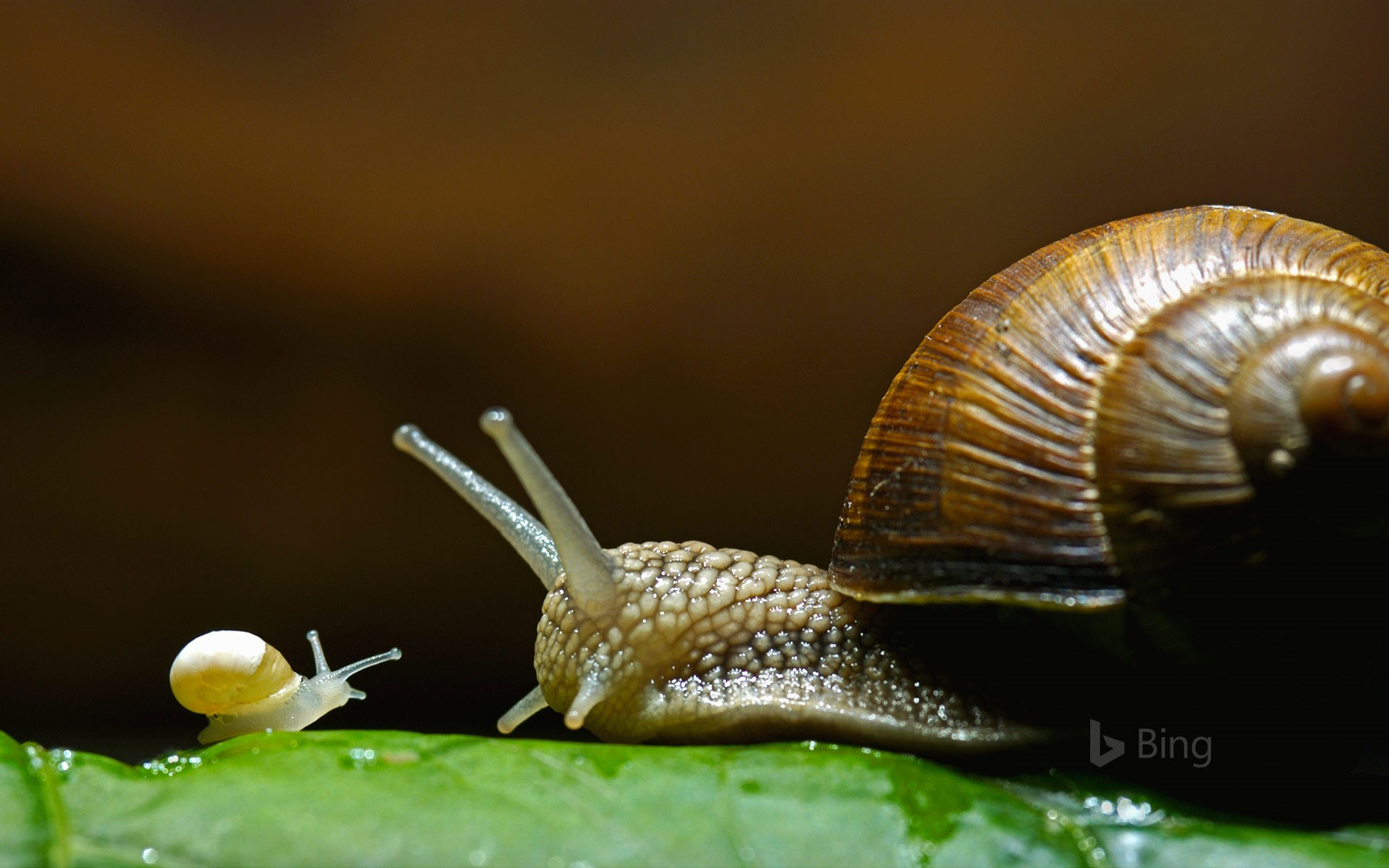 Burgundy snails, also called edible snails