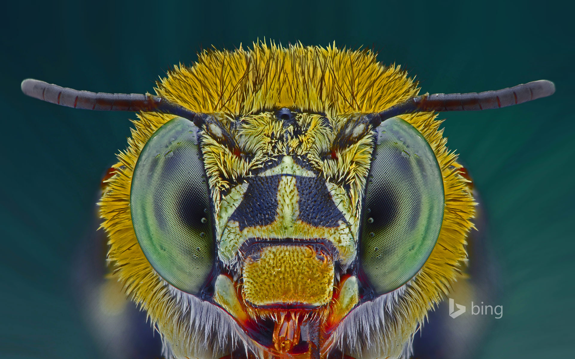 Macro photograph of a blue banded bee
