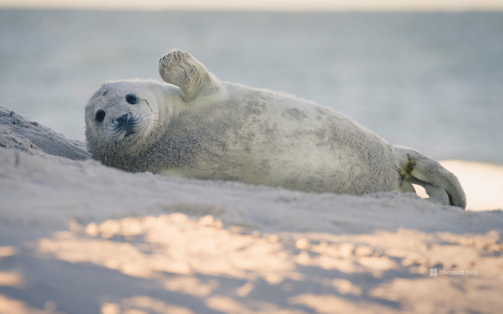 Young gray seal on the beach of the island of Dune, Heligoland, Schleswig-Holstein