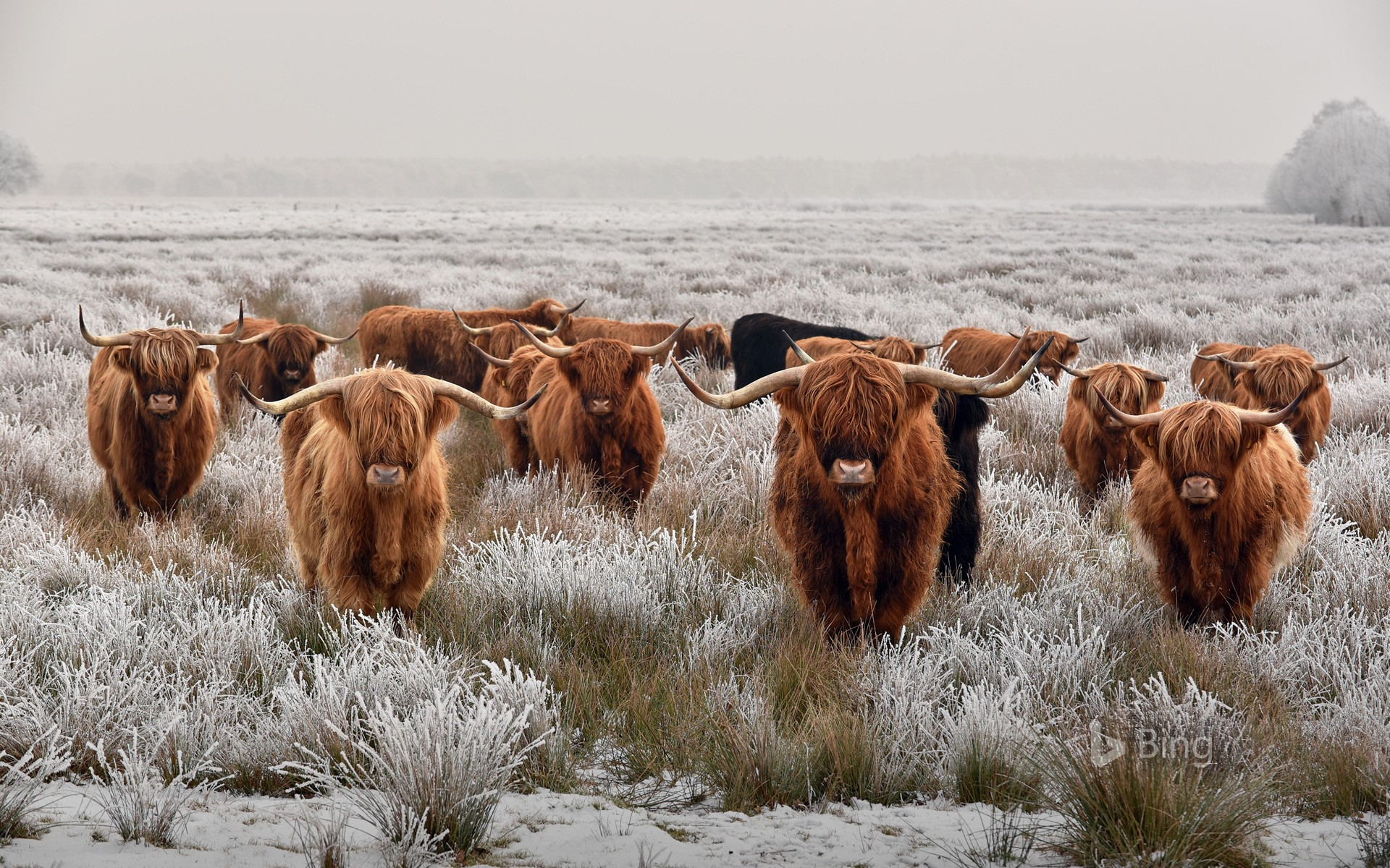 Herd of Highland cattle in winter