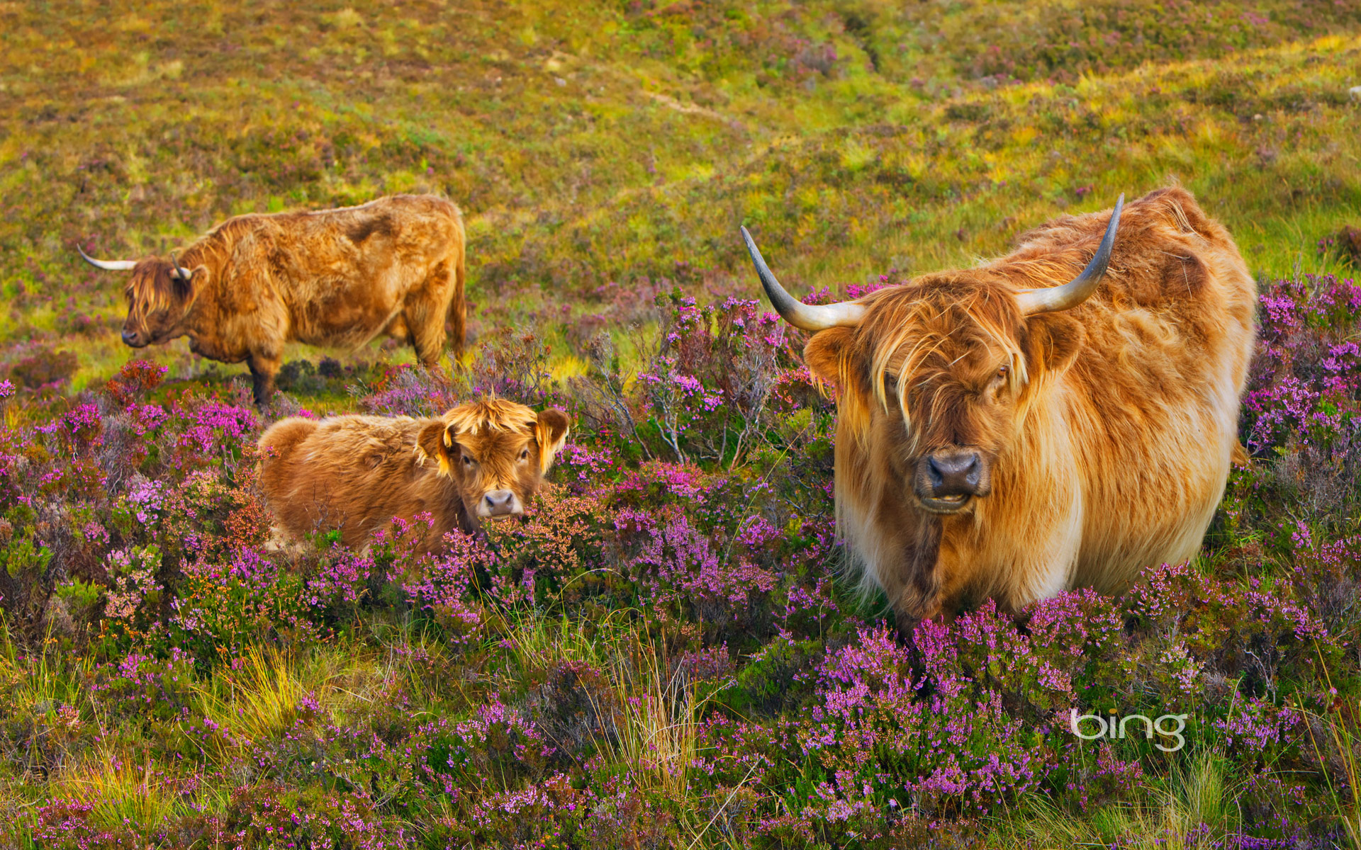Highland cattle in a field of heather on the Isle of Skye,  Scotland