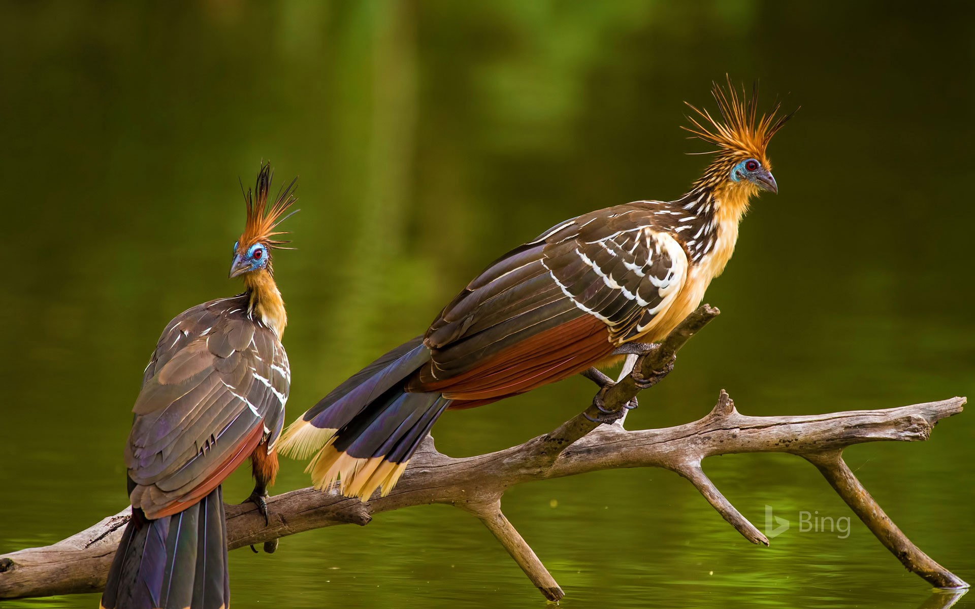 Two hoatzins, perched in Brazil