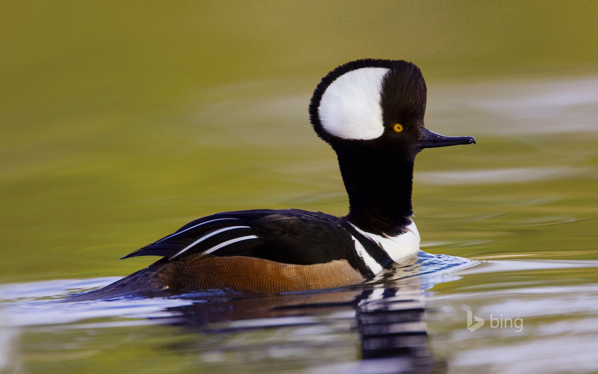 Male hooded merganser in Beaufort, South Carolina