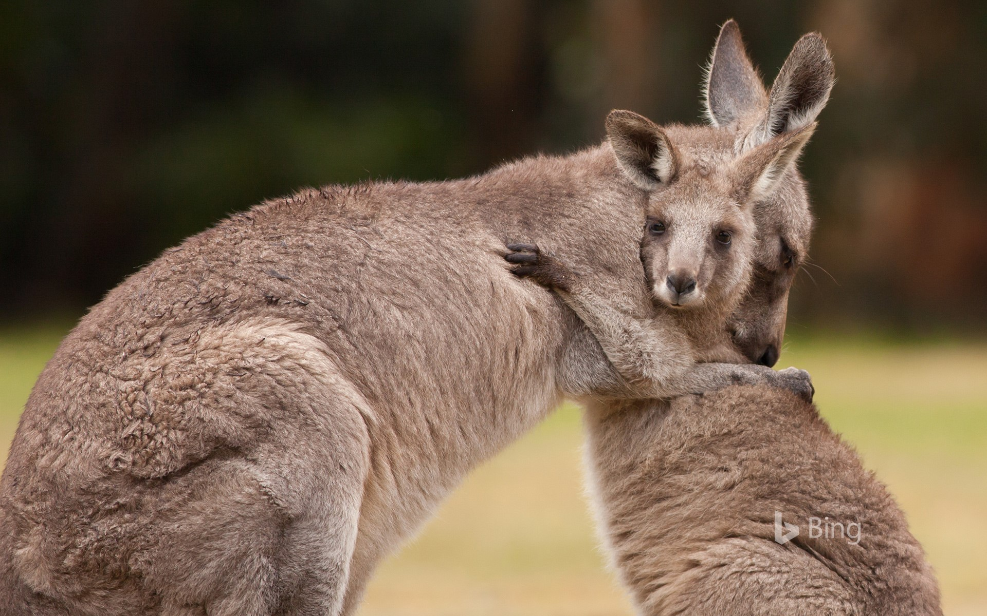 Mother and baby kangaroos hugging (© Belle Ciezak/Shutterstock)