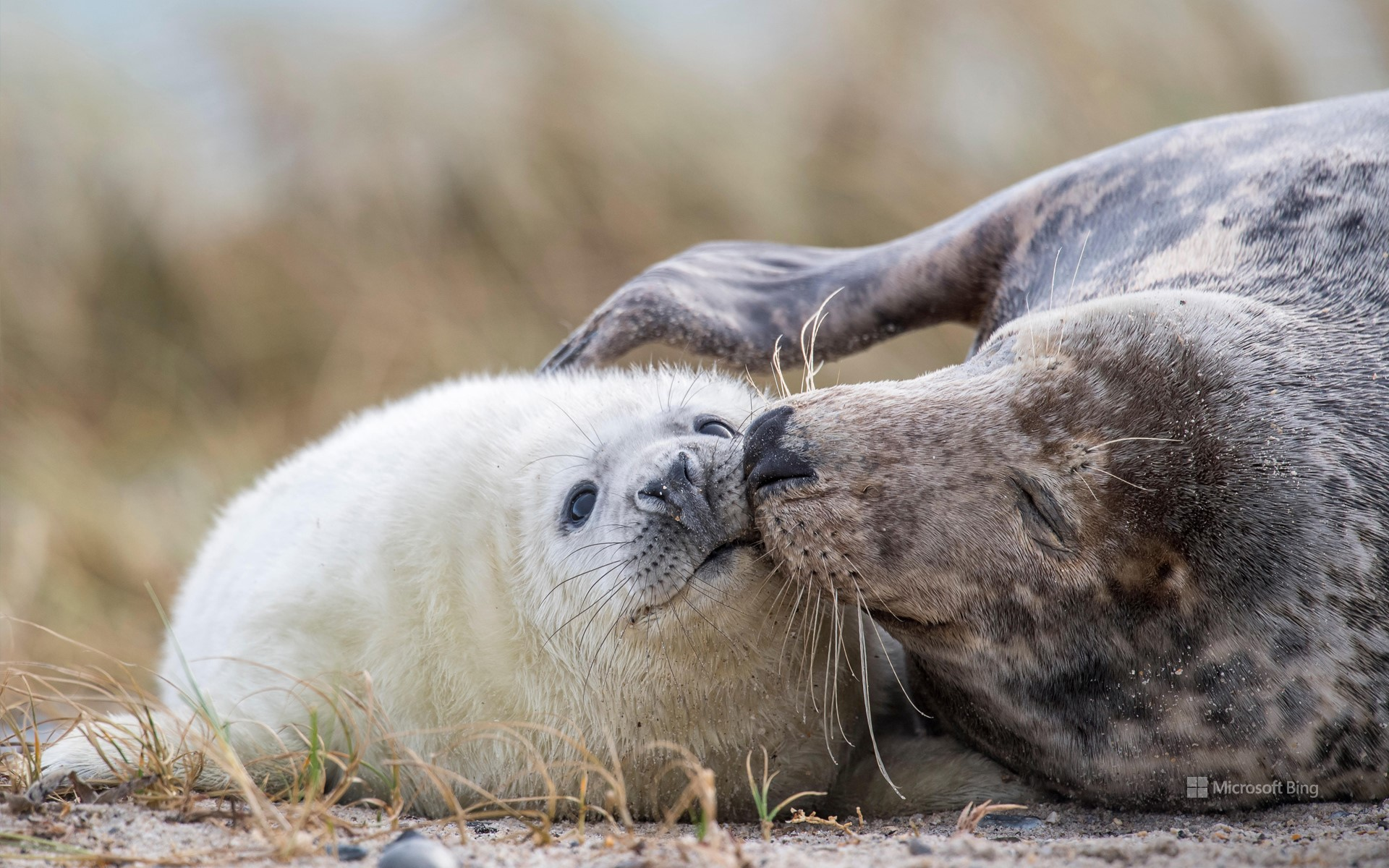 Gray seal mother and her cub on a beach in Heligoland, Schleswig-Holstein, Germany