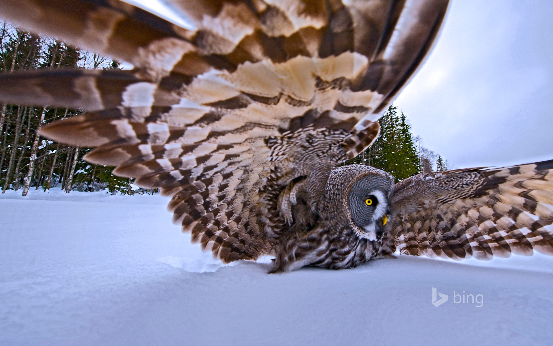 A great grey owl on the hunt
