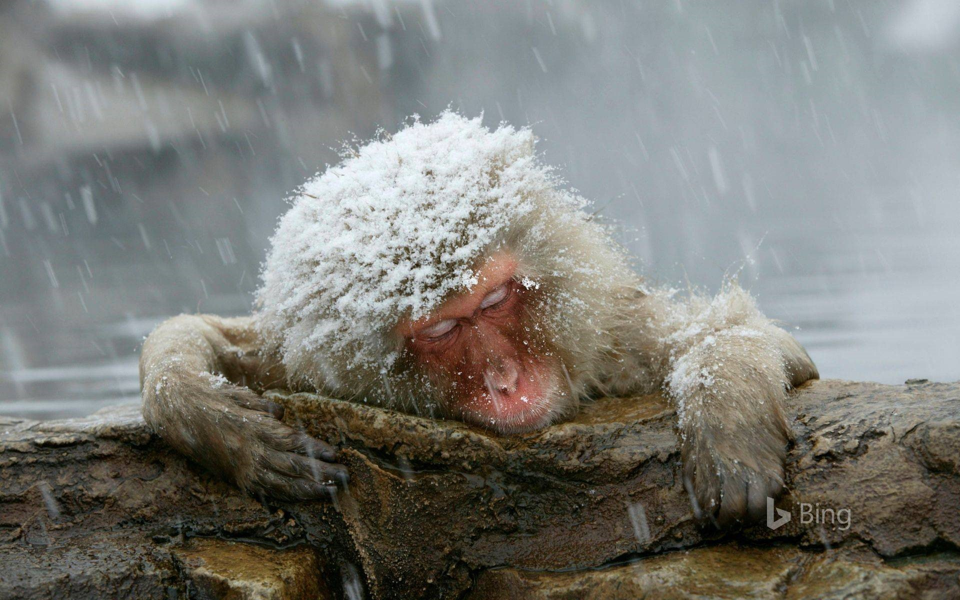 """""""Japanese macaques entering hot springs"""""""
