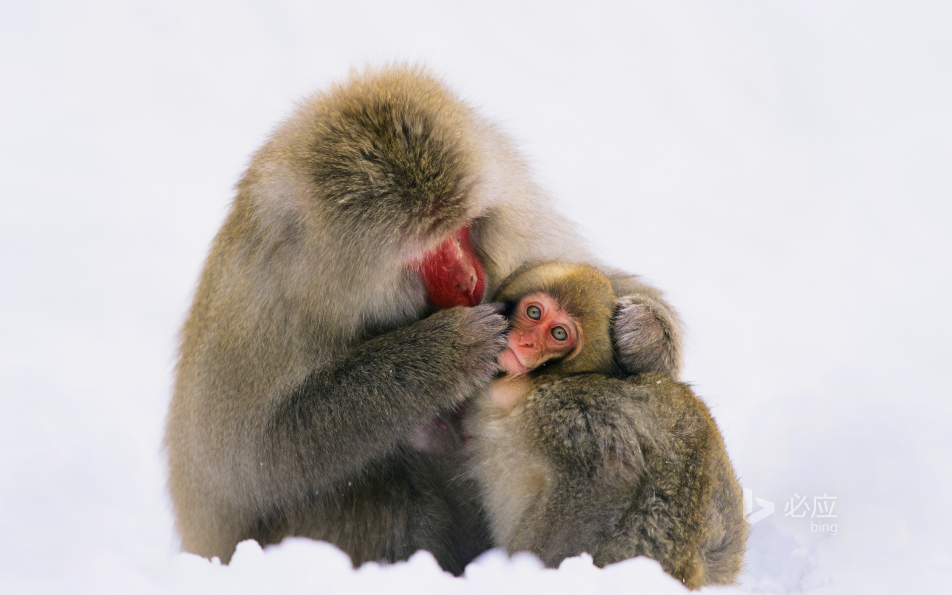Japanese Alps, Japanese macaques in the snow