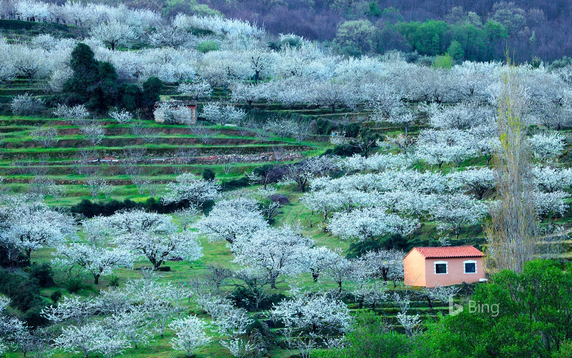 Blooming cherry trees in the Jerte Valley, province of Cáceres, Spain