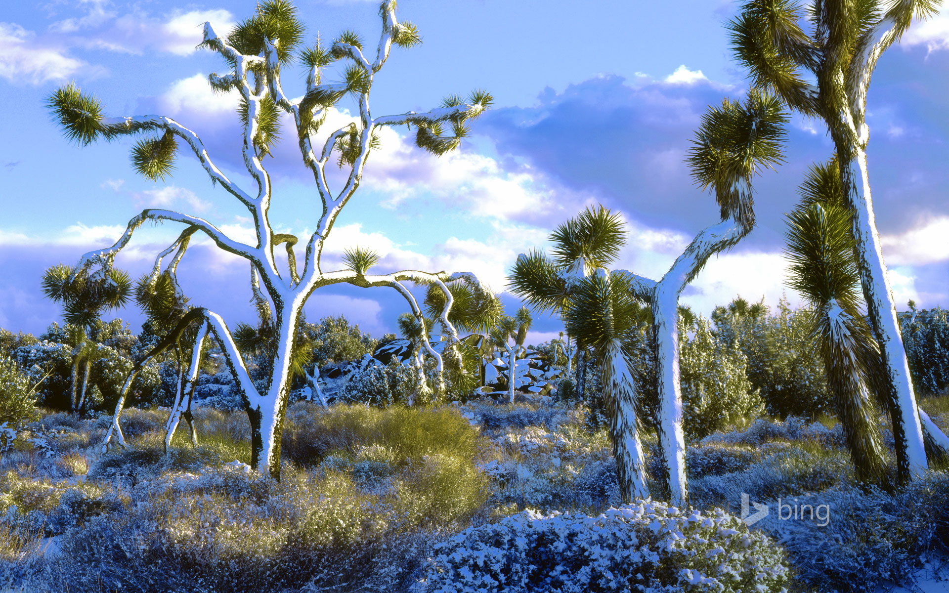 Snow-covered Joshua trees, Joshua Tree National Park, California, USA
