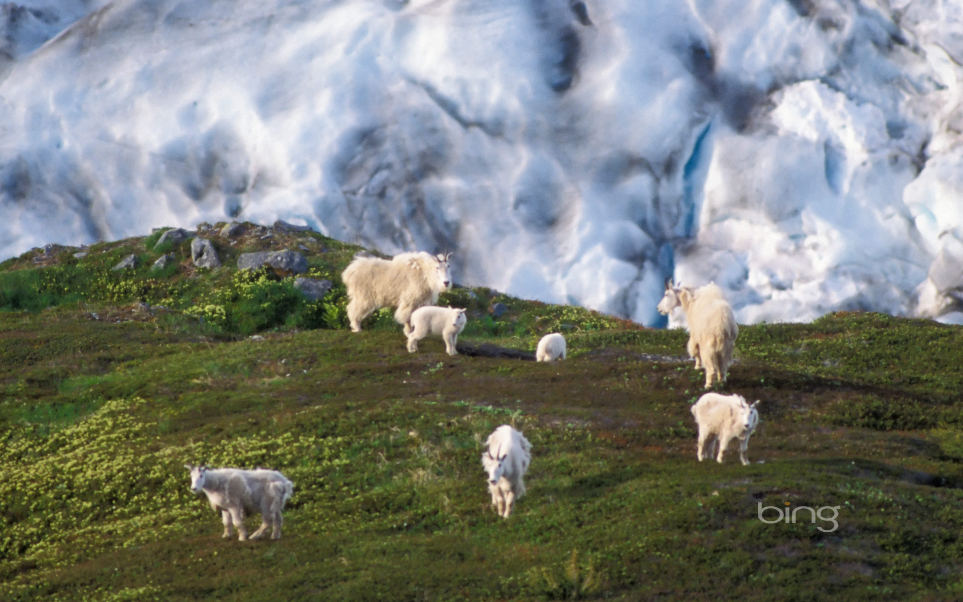 Mountain goat herd on a hillside near Exit Glacier, Kenai Fjords National Park, Alaska