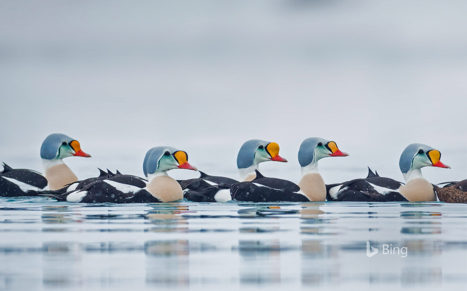 Male king eider ducks swimming in Troms og Finnmark, Norway