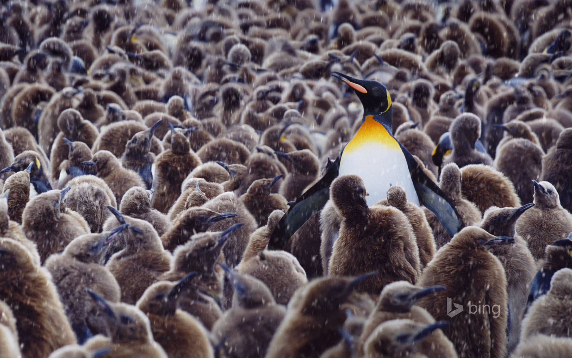King penguin surrounded by chicks, South Georgia