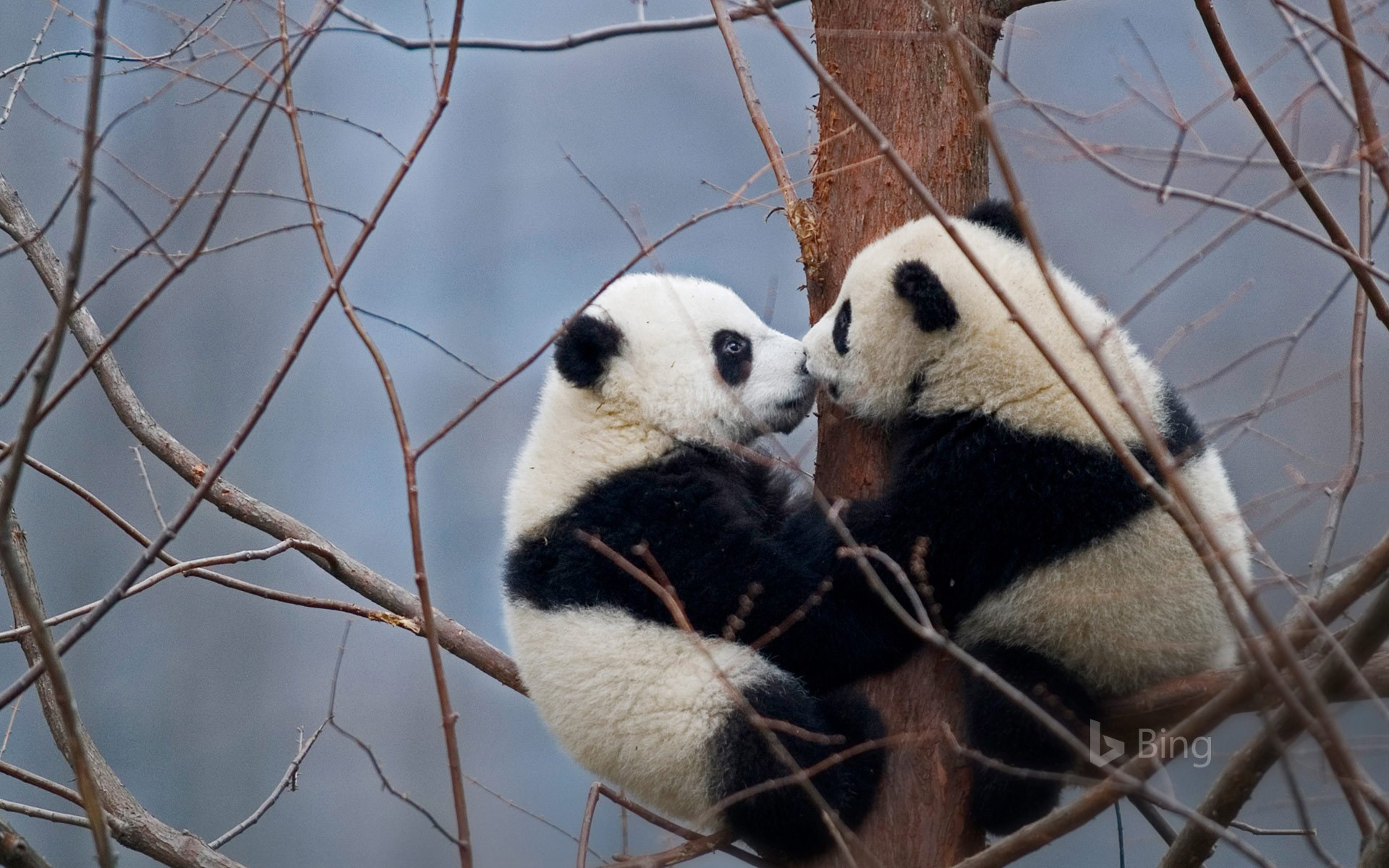 Giant panda cubs in the Wolong National Nature Reserve, China