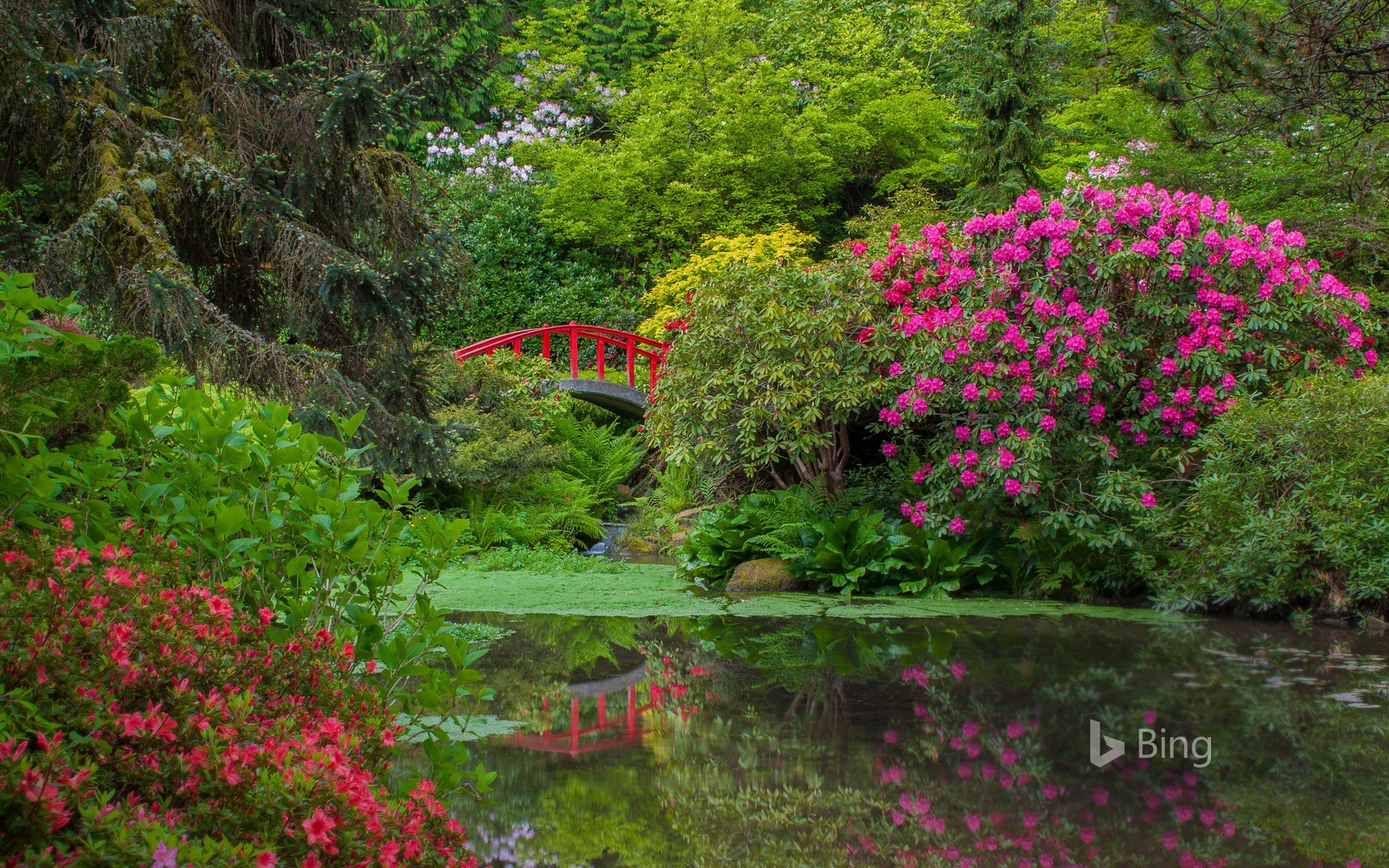 Rhododendrons and azaleas blooming around Moon Bridge, Kubota Garden, Seattle, Washington