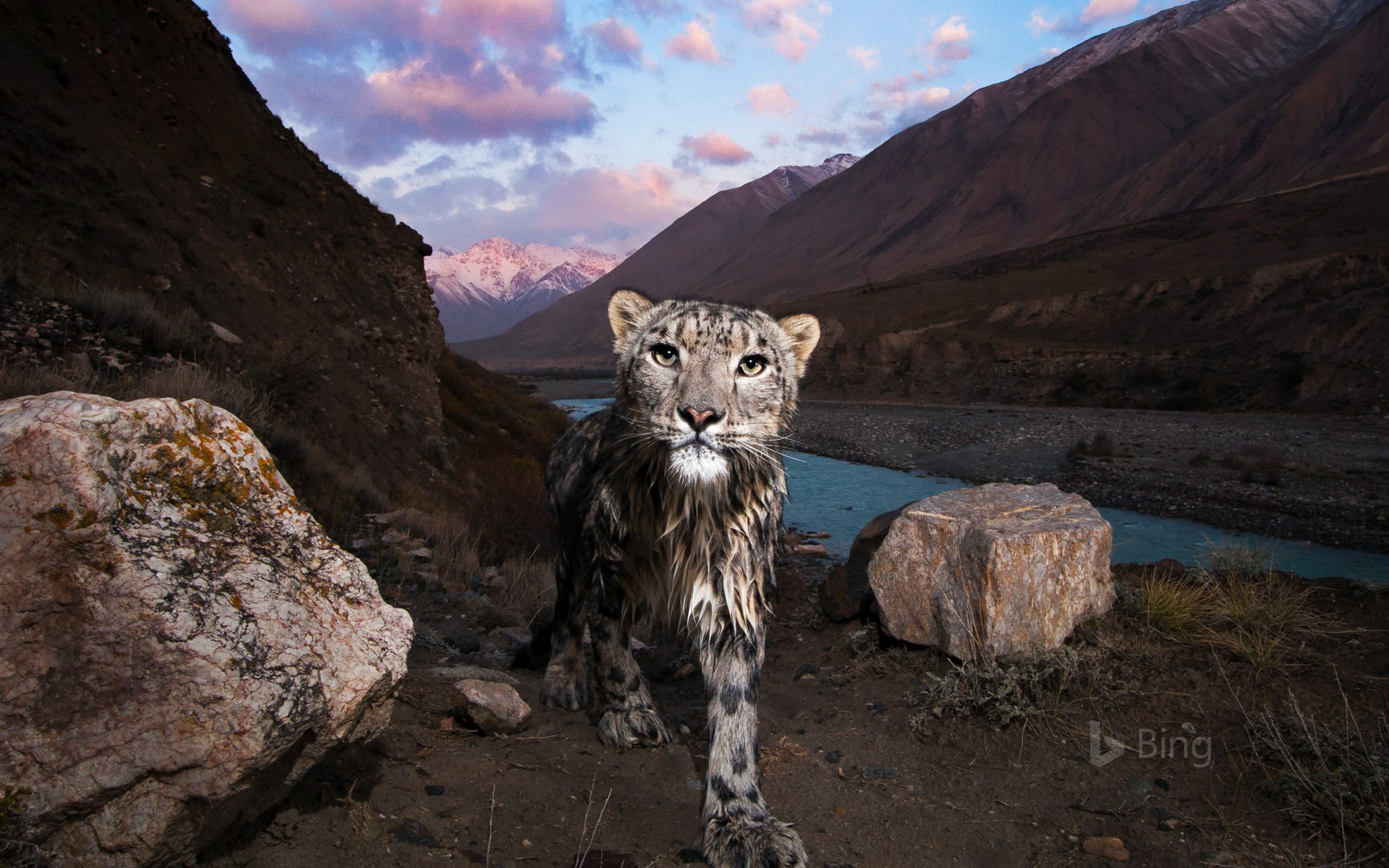 Snow leopard in the Tian Shan, Kyrgyzstan