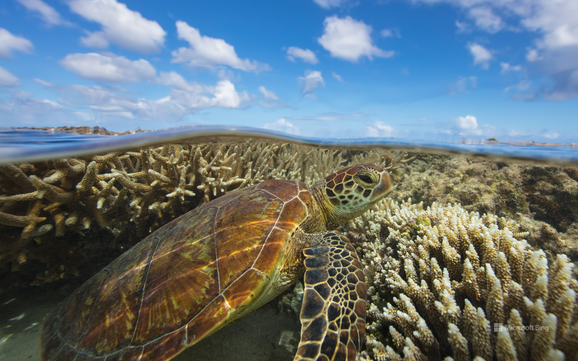 Green turtle swimming over a coral reef, Lady Elliot Island, Queensland