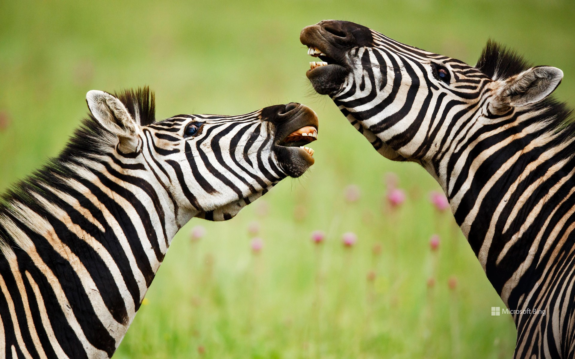 Burchell's zebras, Rietvlei Nature Reserve, South Africa