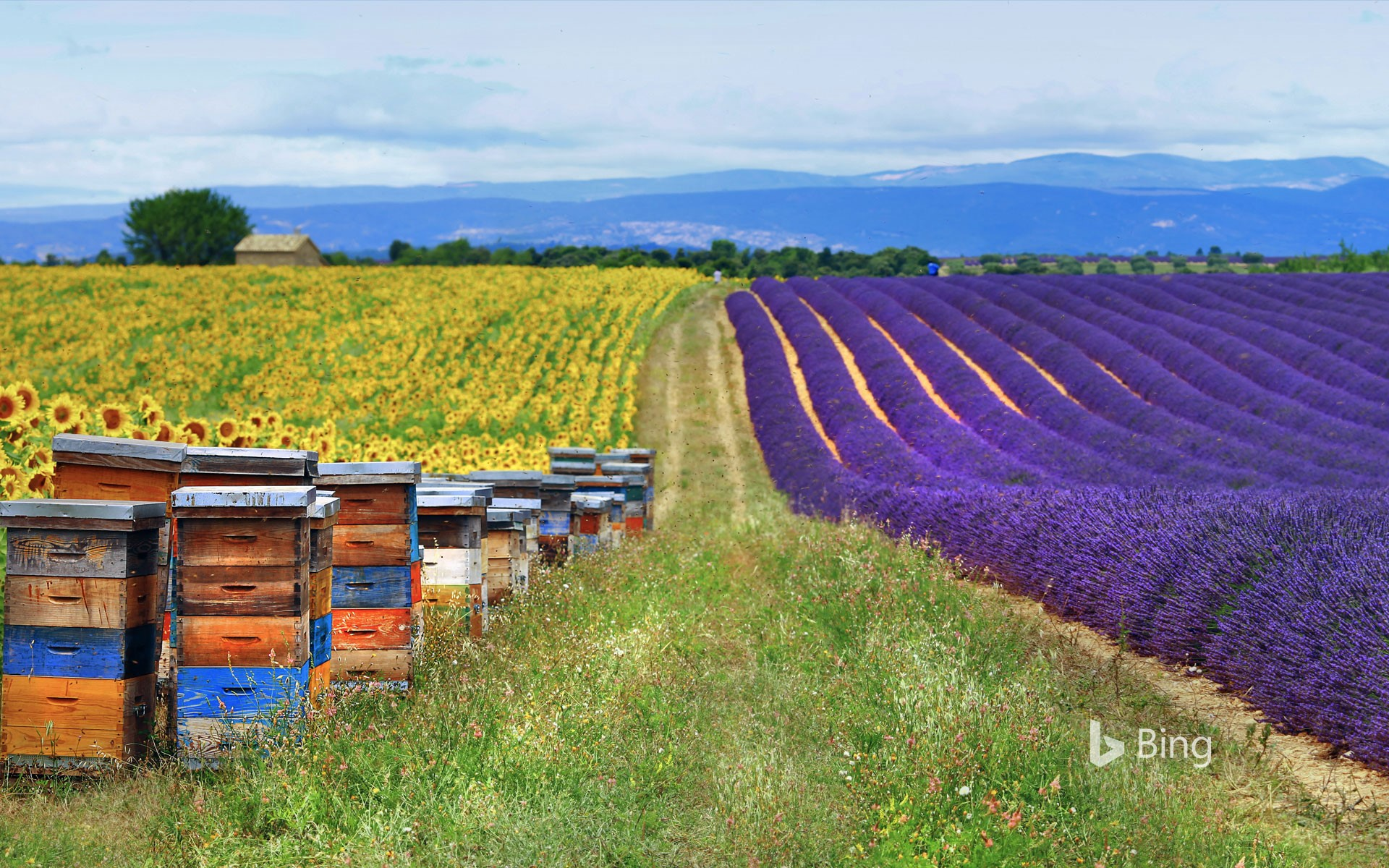 Fields of lavender and sunflowers with beehives in Provence, France