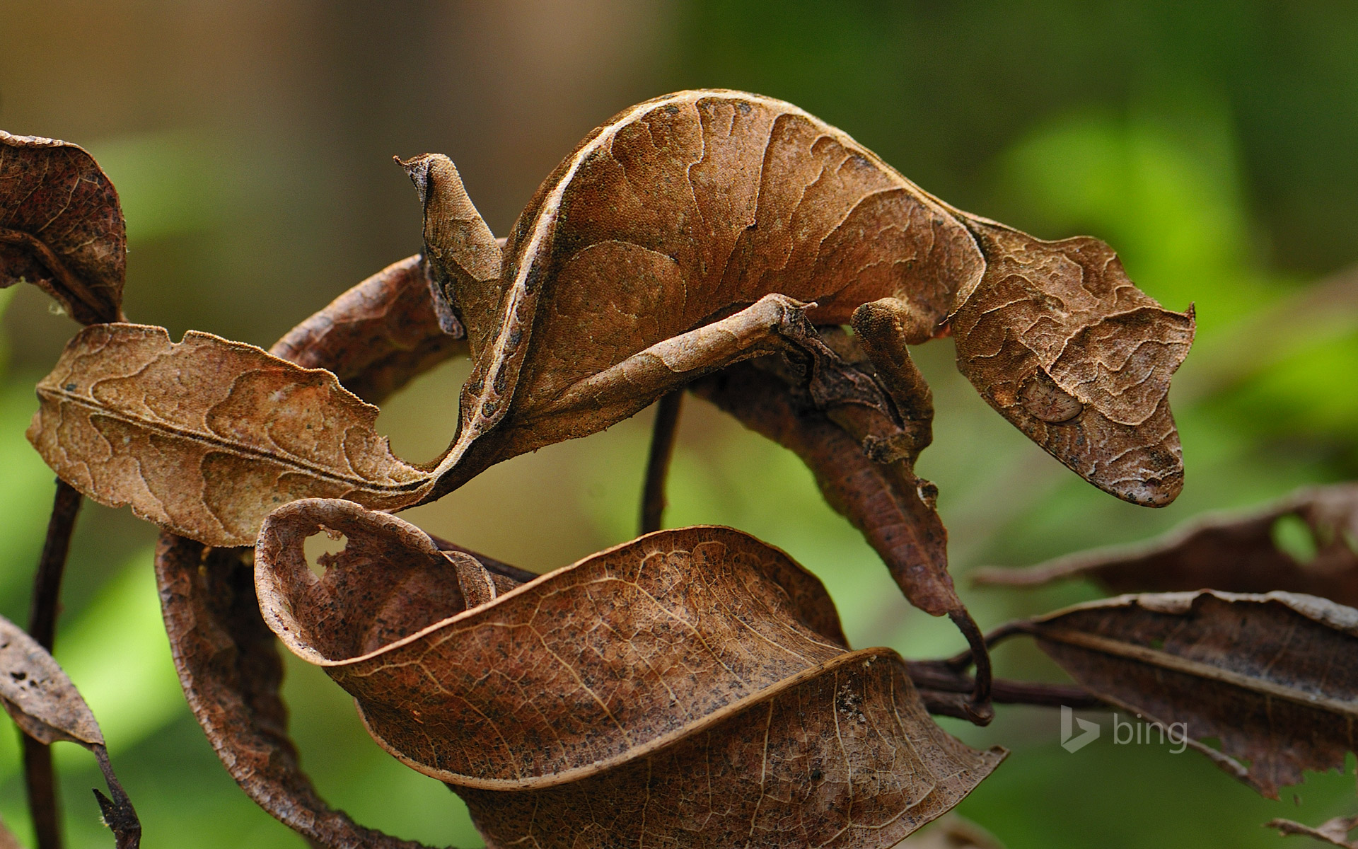 Fantastic Leaf-tail Gecko In Andasibe-Mantadia National