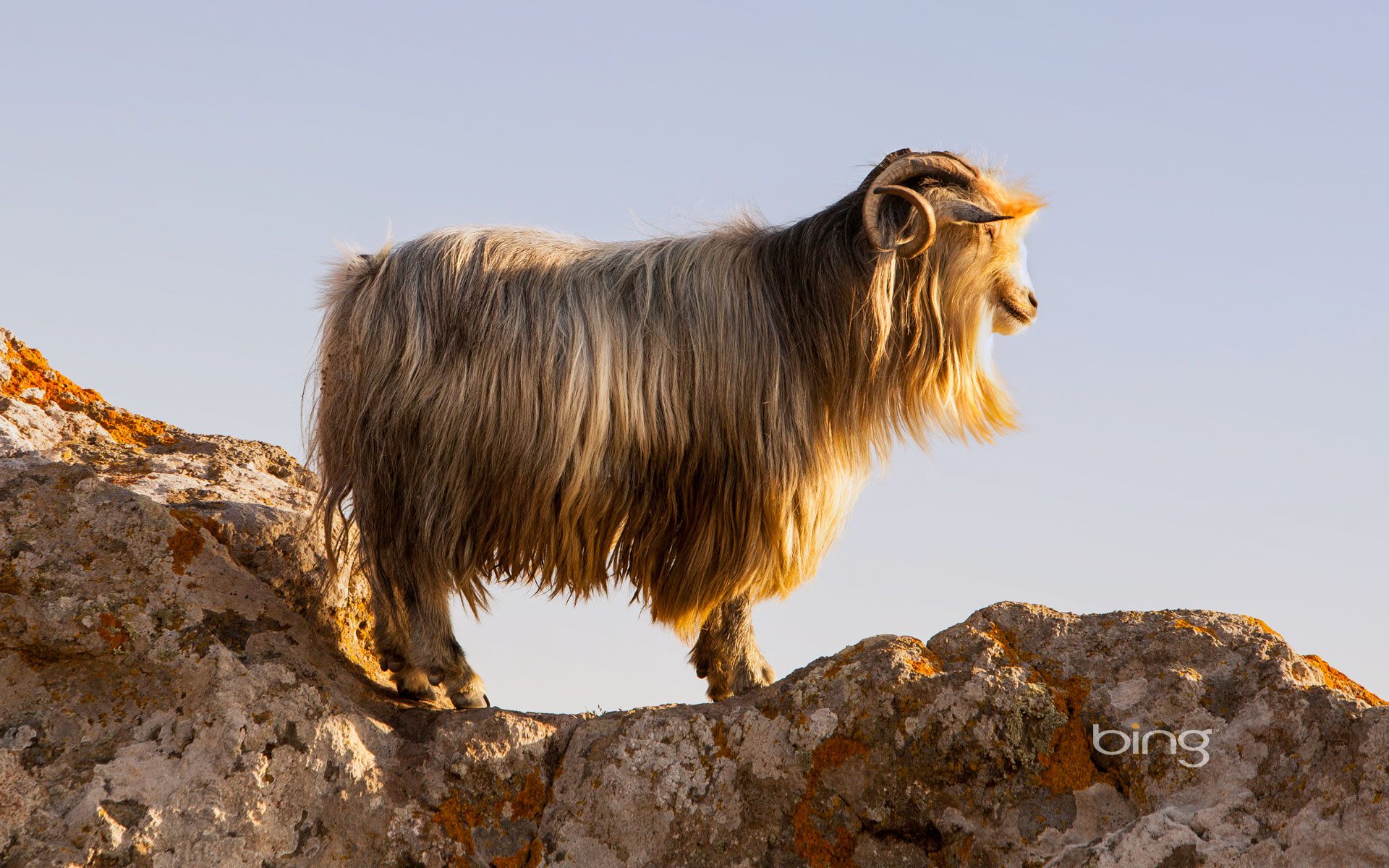 A goat on the castle rocks in Myrina, on the isle of Lemnos, Greece