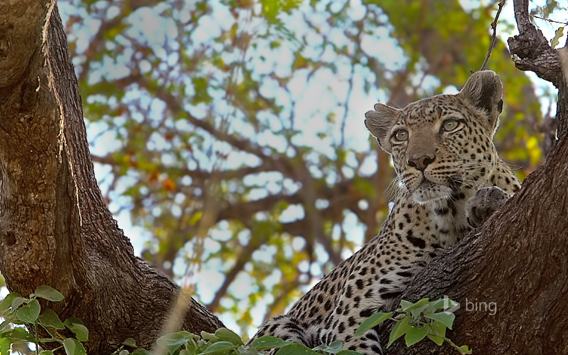Leopard perched in a tree in the Moremi Game Reserve, Botswana