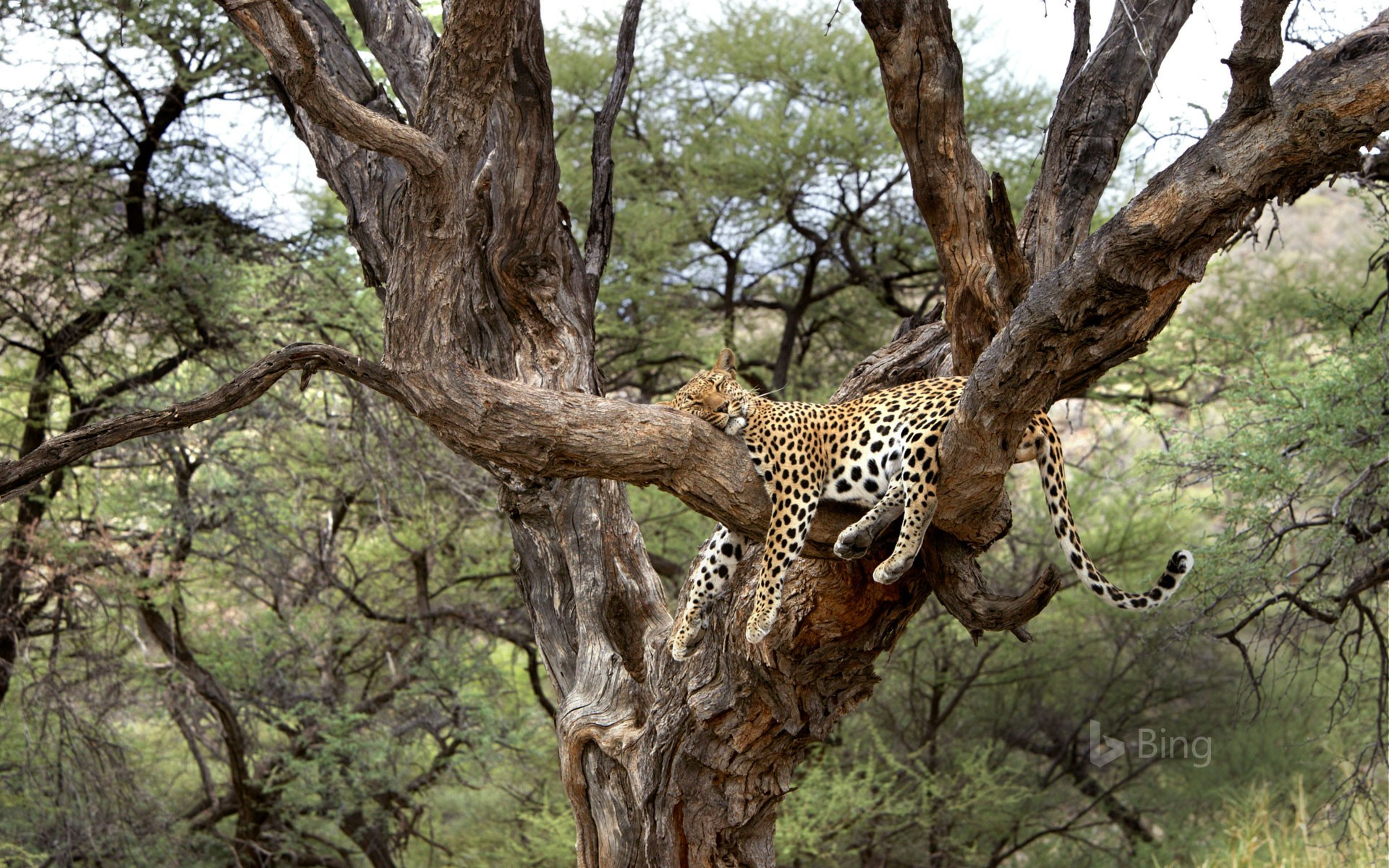 Leopard snoozing in a tree in Namibia