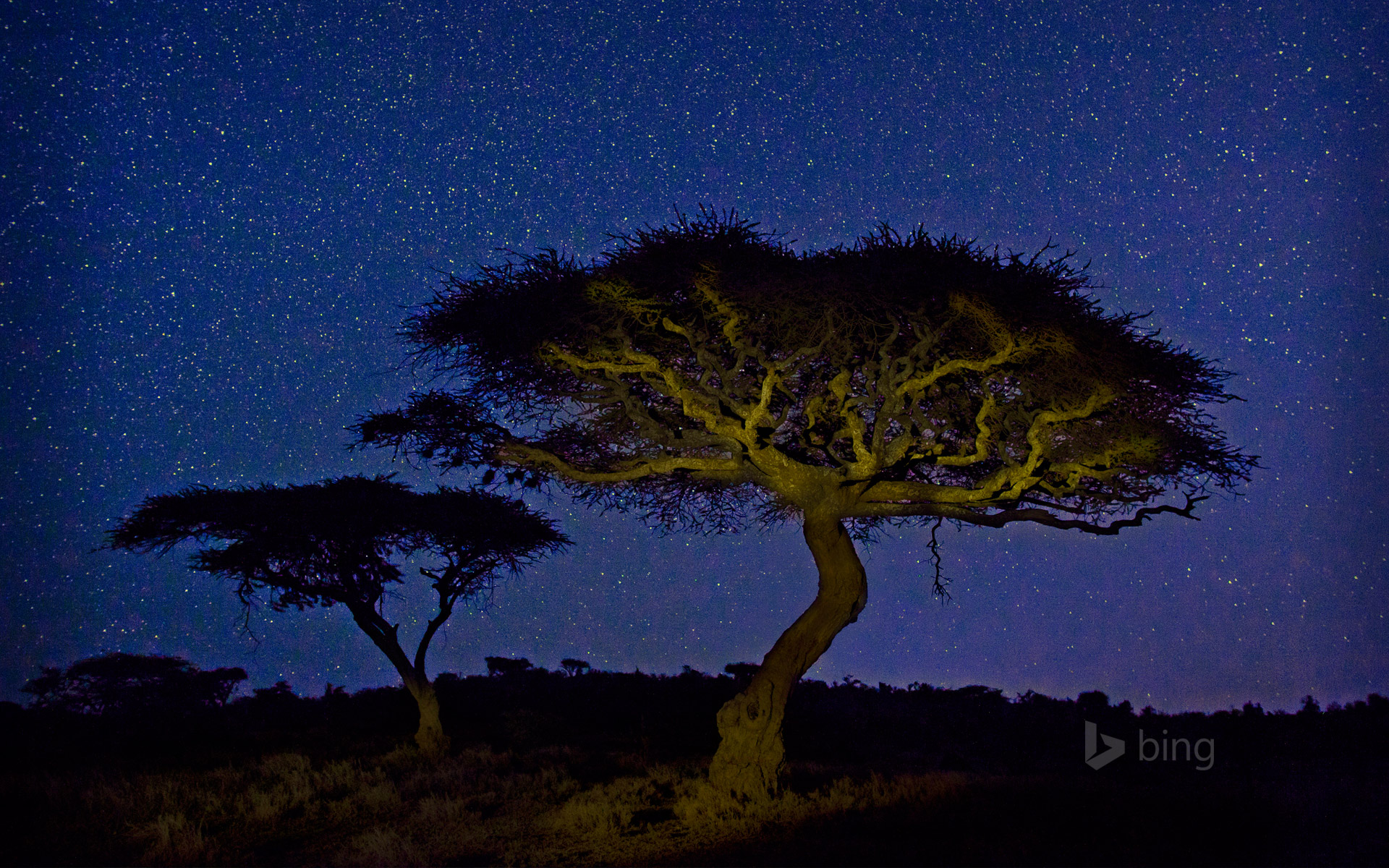 Acacia trees in Lewa Wildlife Conservancy, Kenya