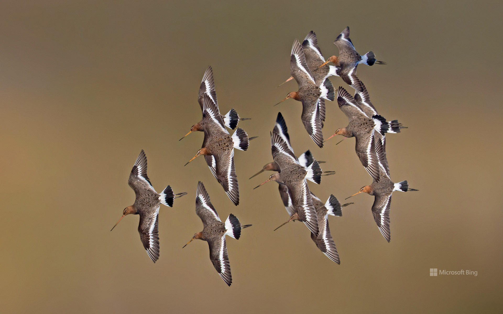 Black-tailed godwits, Netherlands