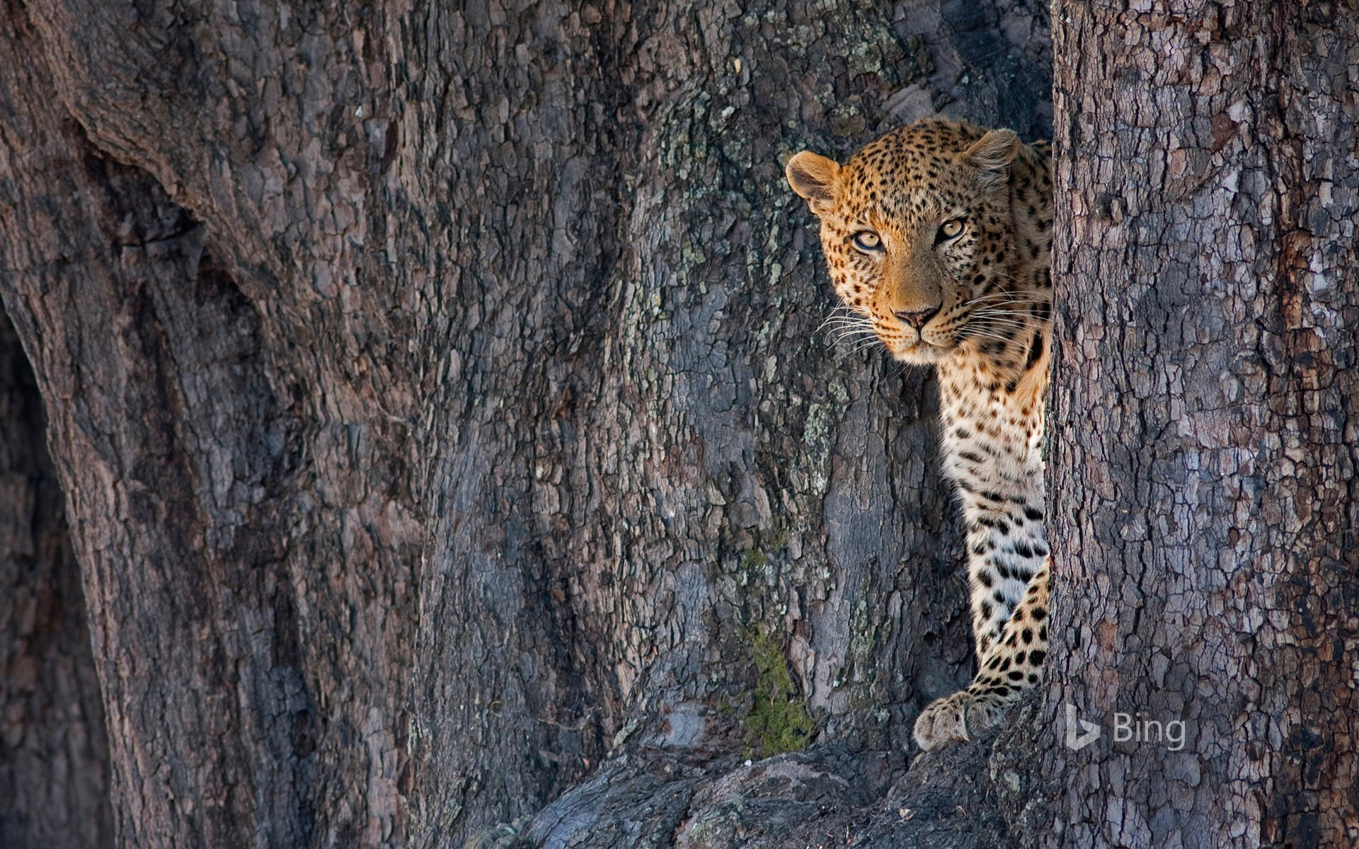 Male leopard in Linyanti Wildlife Reserve, Botswana
