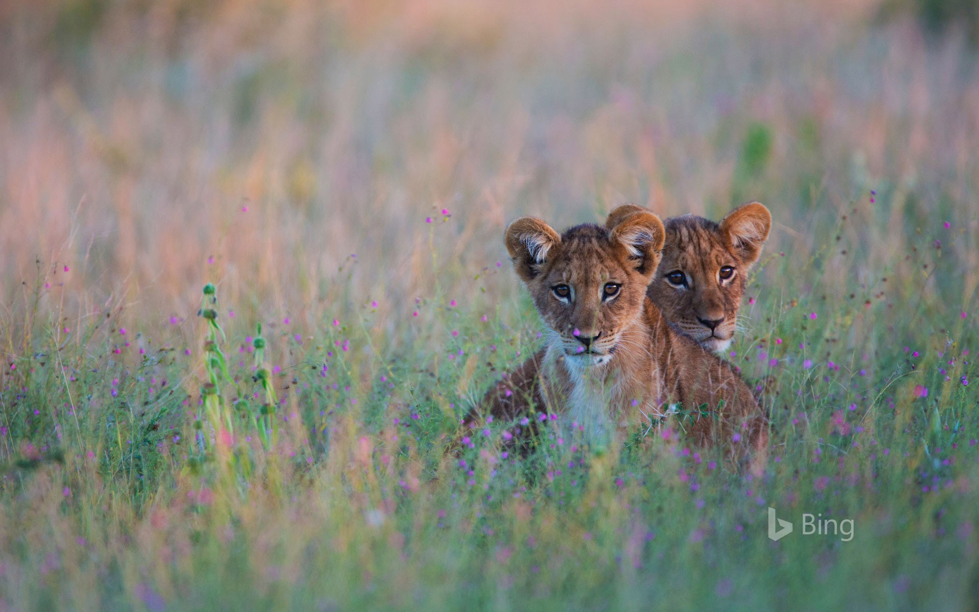 Lion cubs hiding in tall grass in the Kalahari Desert of Botswana
