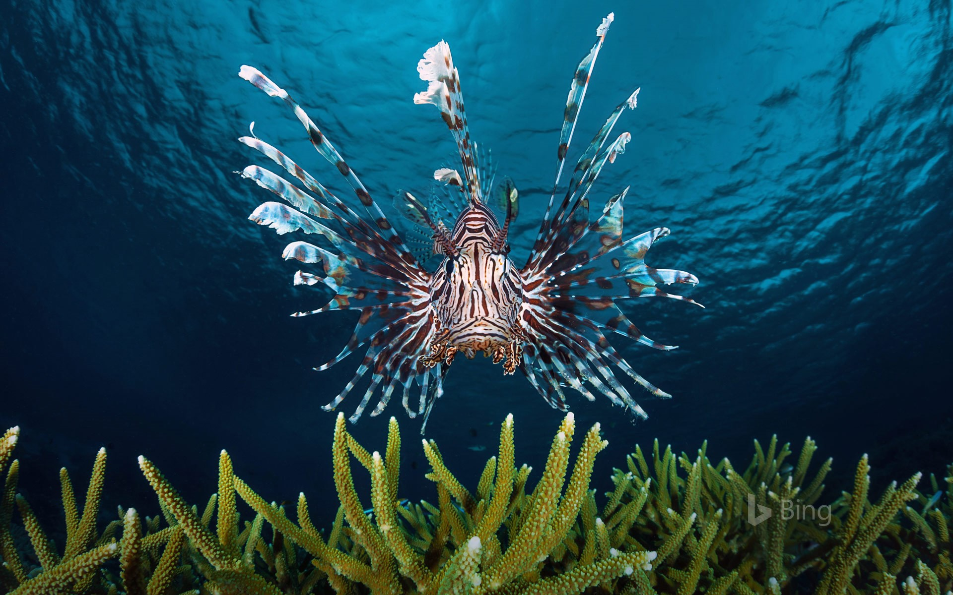 Lionfish swimming off the coast of Indonesia
