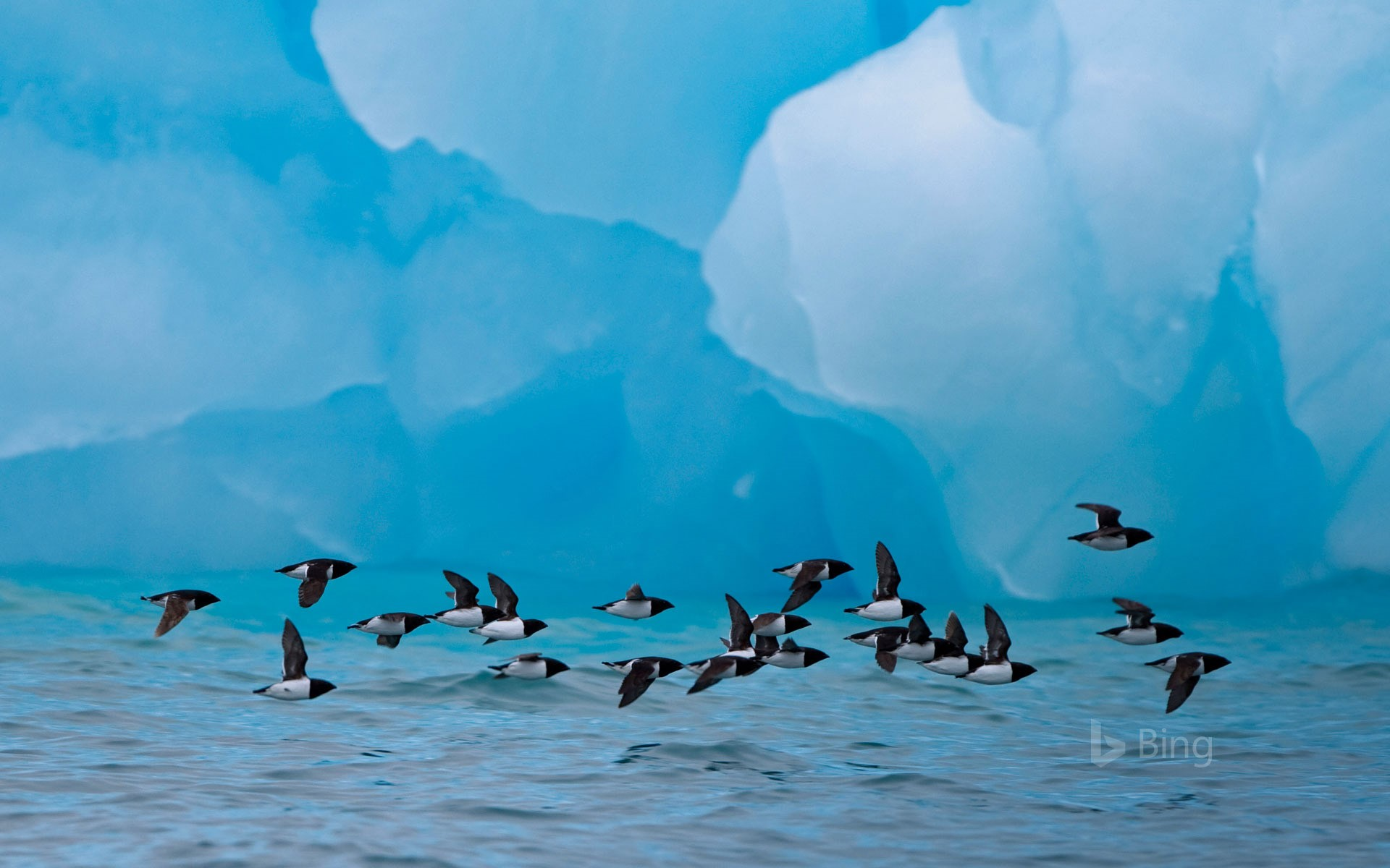 Little auks fly past an iceberg at Spitsbergen, Norway