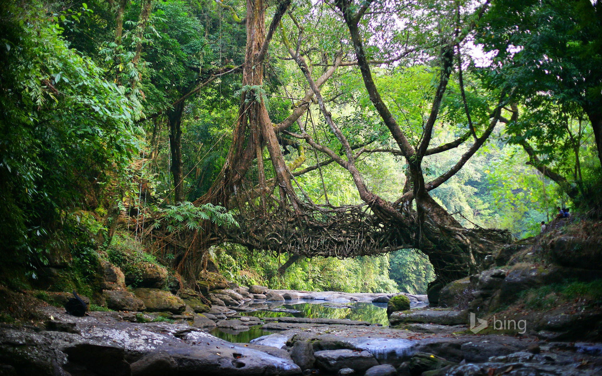 A living bridge in the East Khasi Hills district of Meghalaya, India
