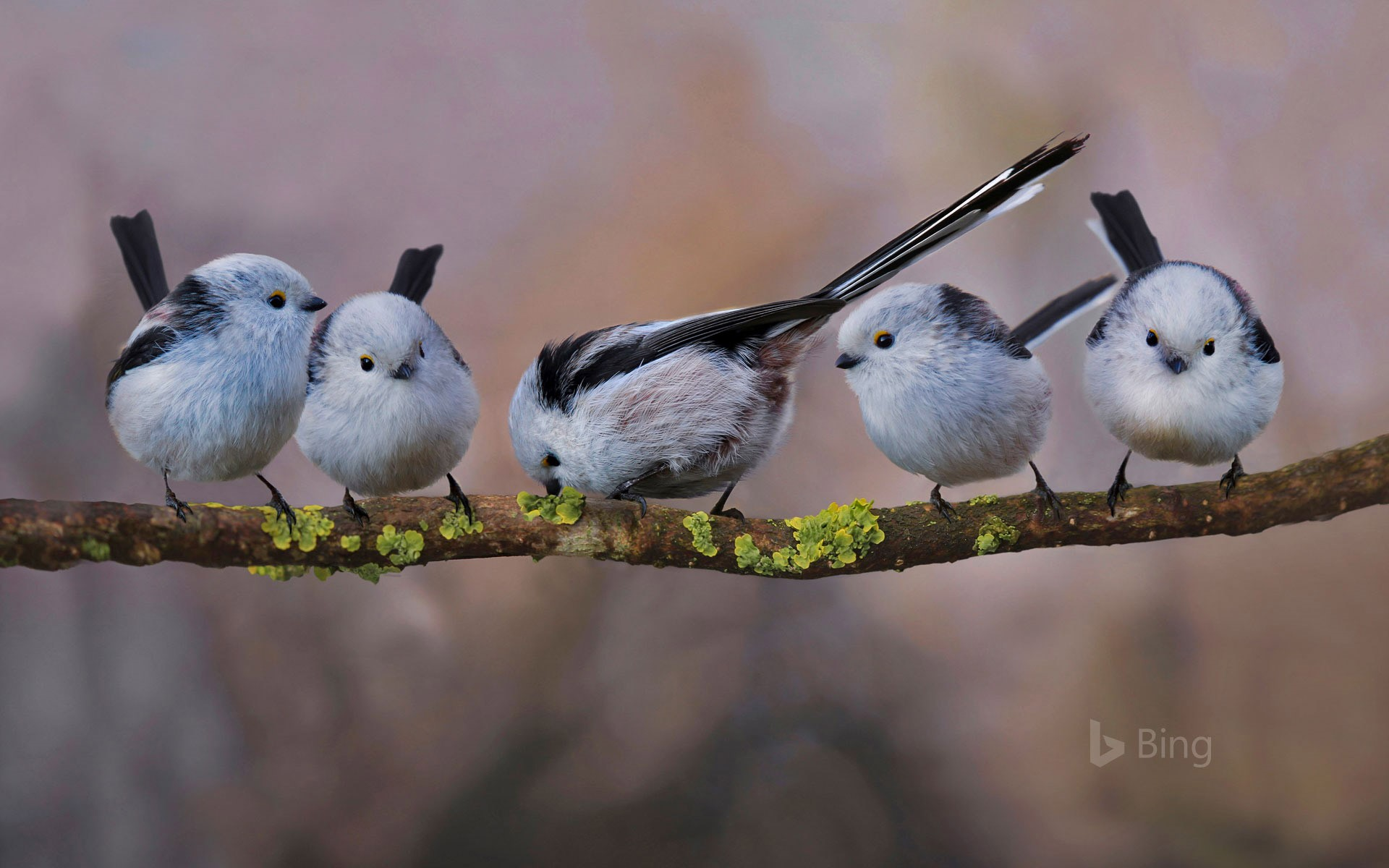 Long-tailed tits in Erding, Germany (© H. Schmidbauer/Offset)