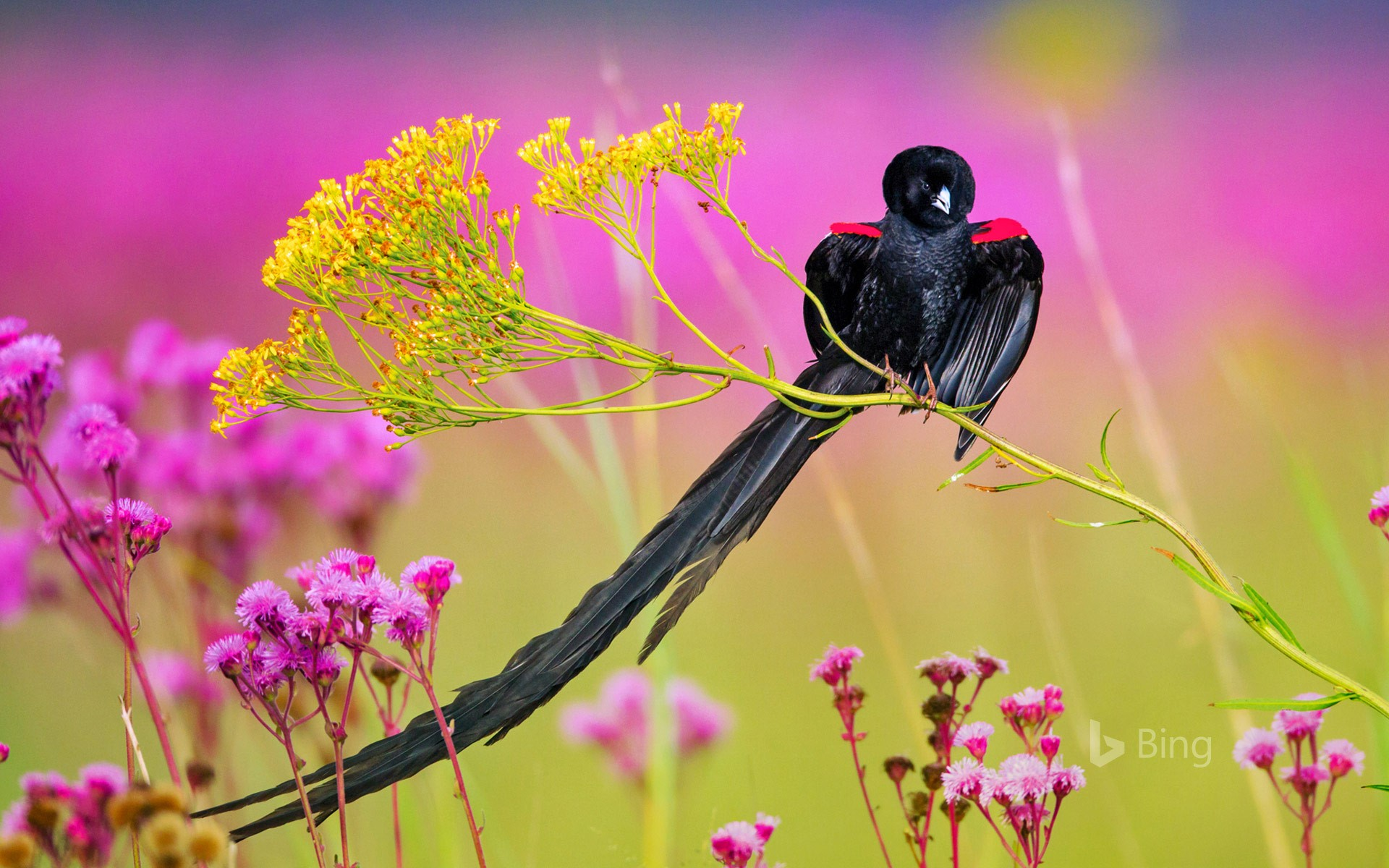 Long-tailed widowbird male, Rietvlei Nature Reserve, South Africa