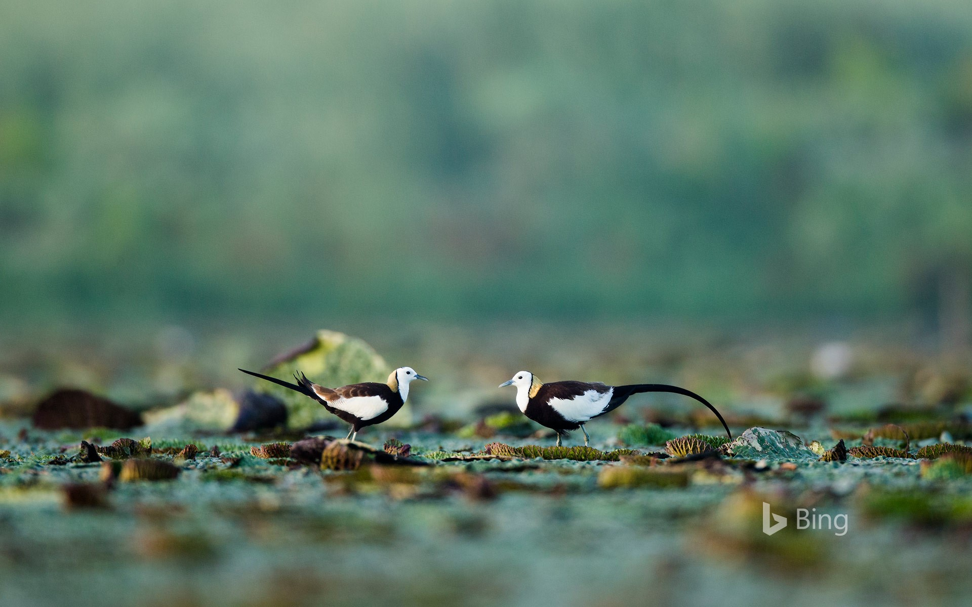 Pheasant-tailed jacanas, Chaisang District, China